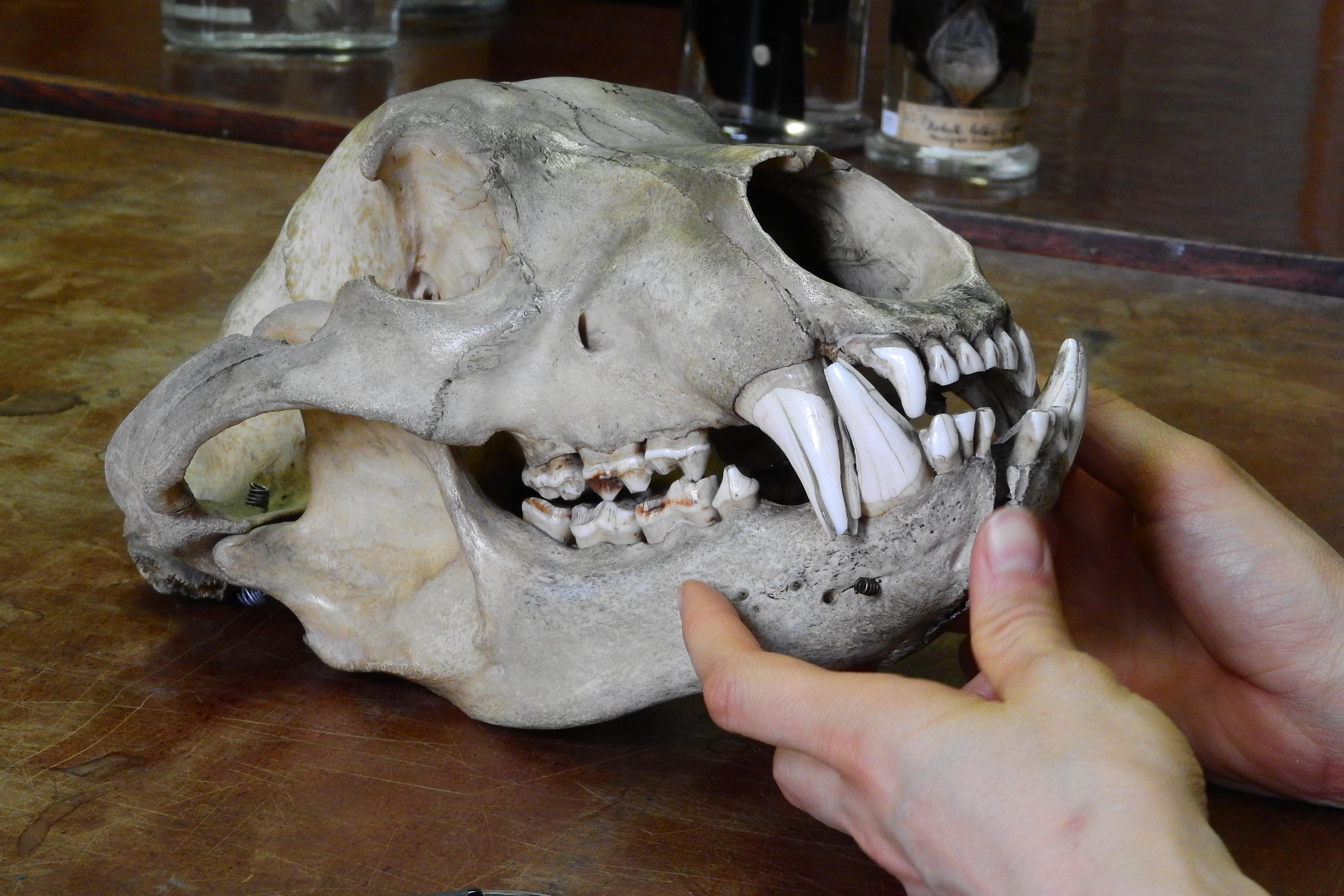 Free Images Bear Skull Bone Human Body Sculpture Art Head Bones Organ Teeth Carving Ursus Jaw 4608x3072 494981 Free Stock Photos Pxhere