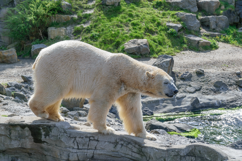 free images wildlife zoo fur mammal predator fauna polar