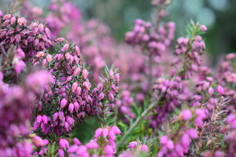 Hình ảnh đẹp Hoa Chuông Nở Hoa Cánh đồng Hệ Thực Vật