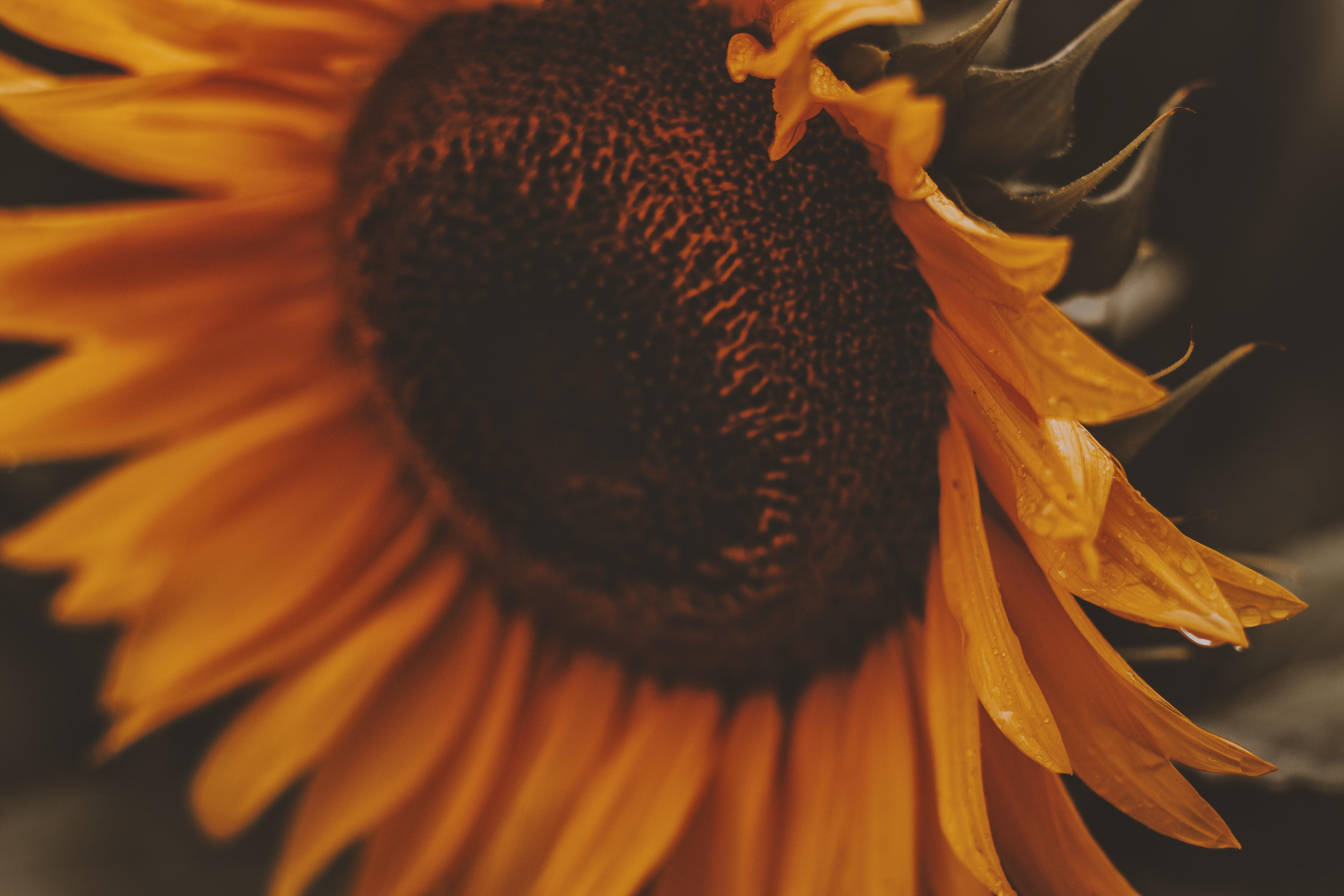 beautiful bloom blooming blossom bright close up color colorful colour colourful delicate desktop wallpaper flora flower hd wallpaper nature wallpaper petal petals pollen sunflower 1515961
