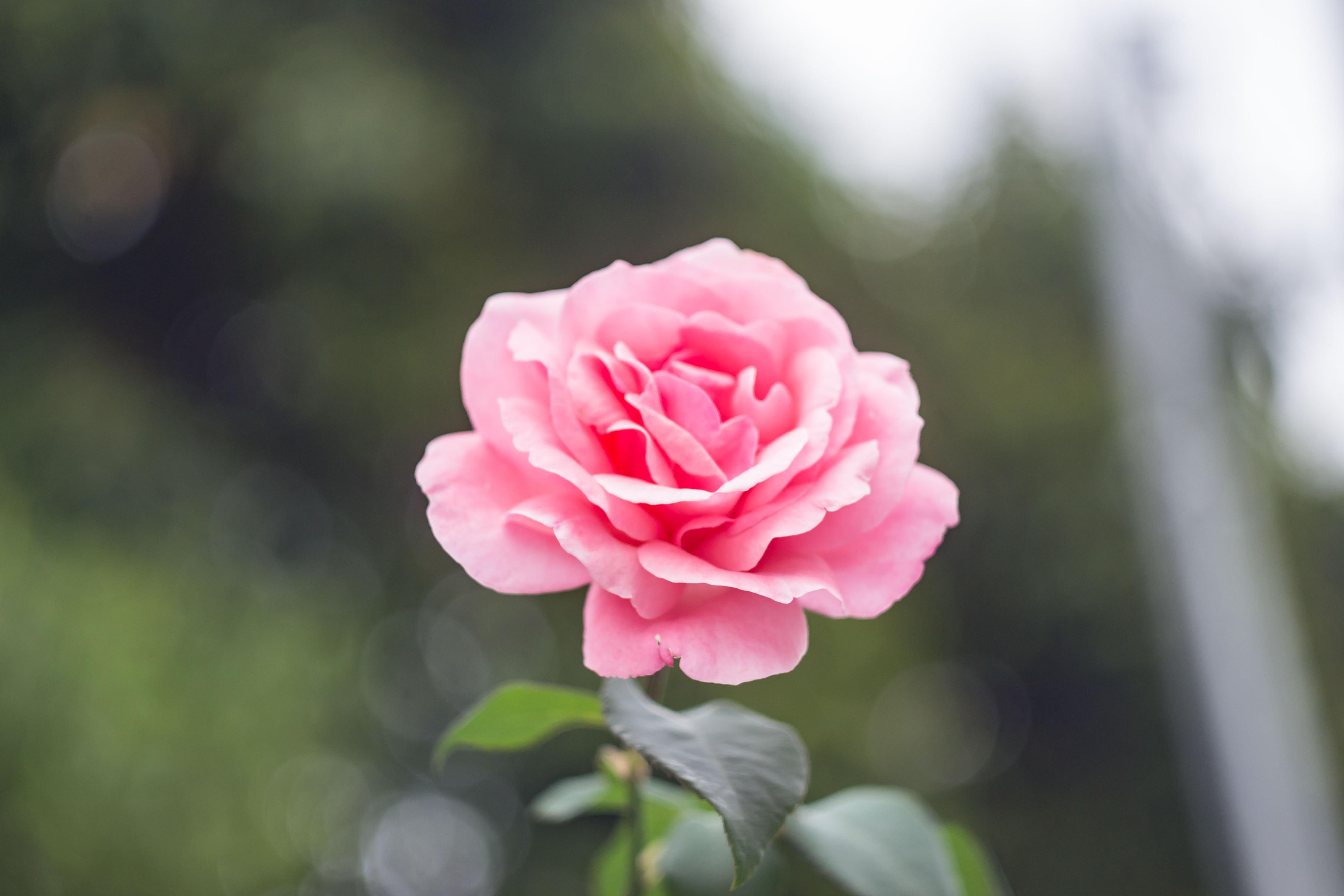 Гиппеаструм все о цветке