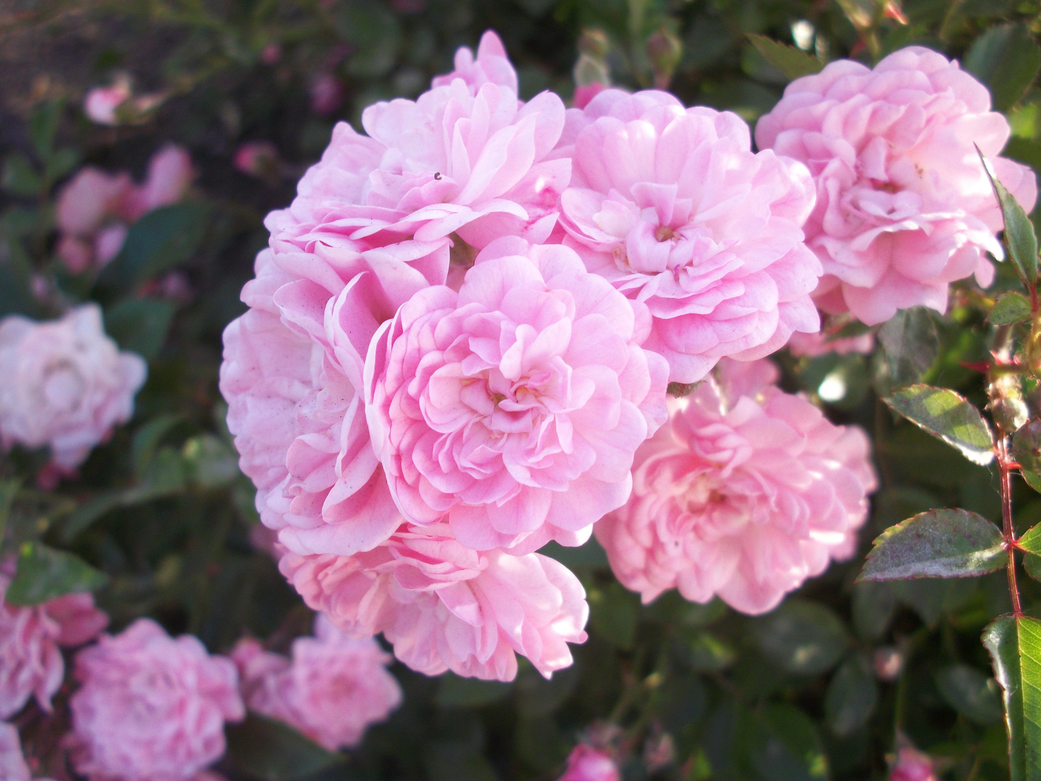 Free Images Beautiful Flowers Nature Bud Park Bush Flower