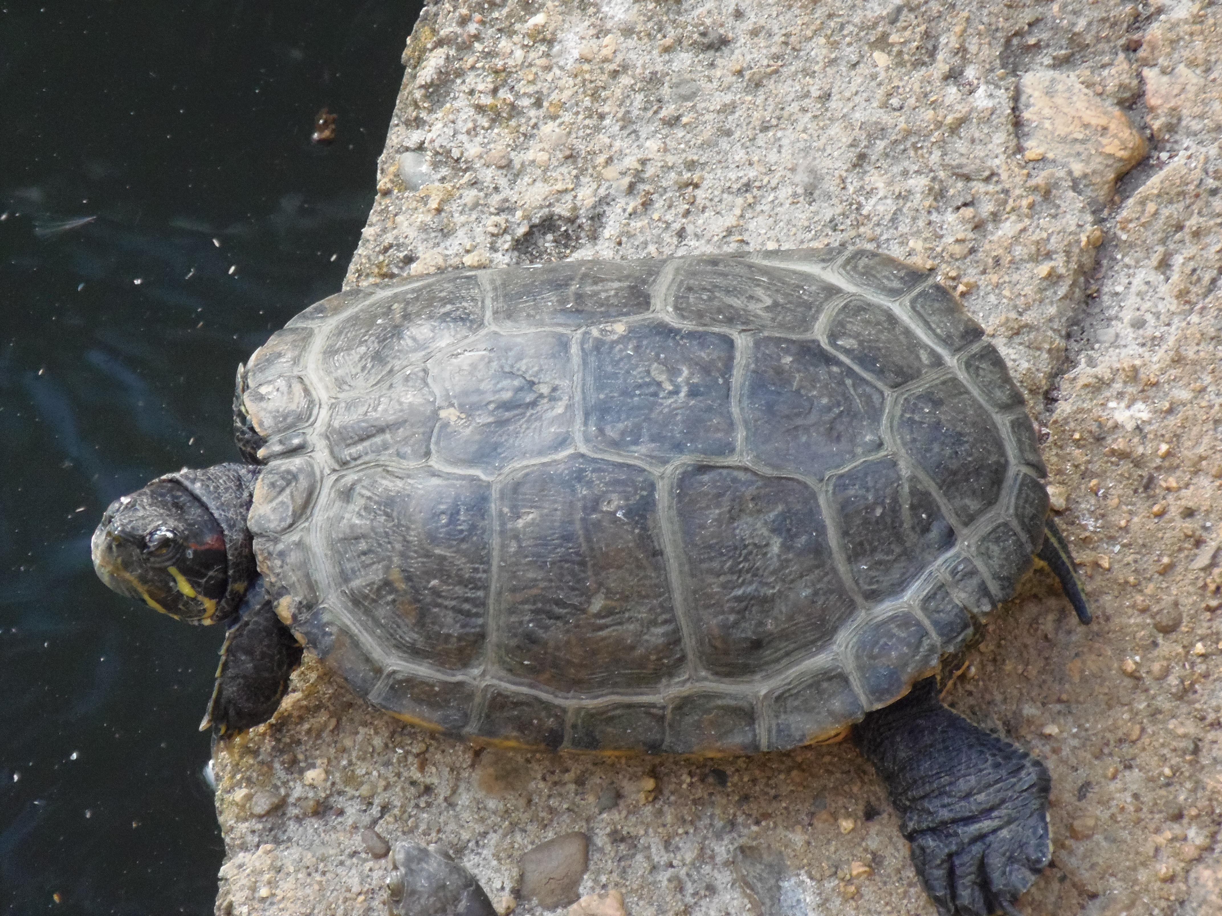 Free Images : sea turtle, reptile, fauna, animals ...