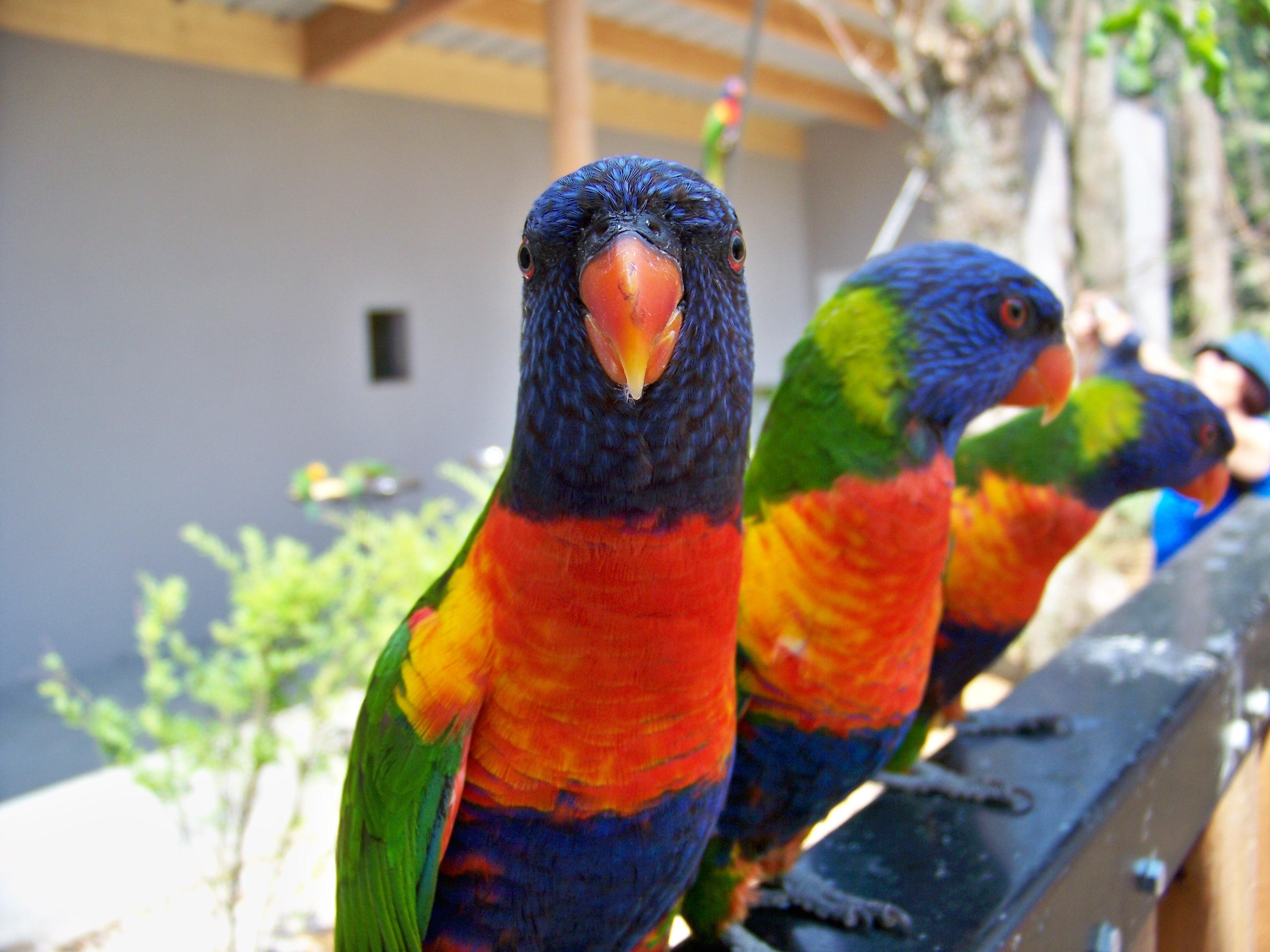 Gambar Paruh Warna Biru Fauna Lorikeet Macaw Burung Burung Melihat Bertulang Belakang Burung Beo Rainbow Parrot Perkici Pelangi Parkit Hewan Peliharaan Umum Lori Merah 3648x2736 1324529 Galeri Foto Pxhere