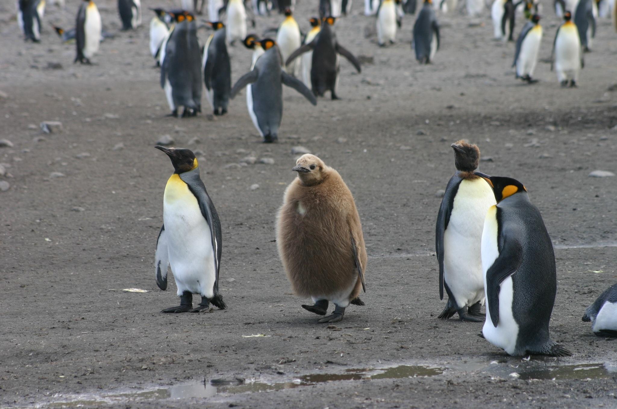 Gambar Hewan Imut Bulu Mantel Muda Paruh Bayi Fauna