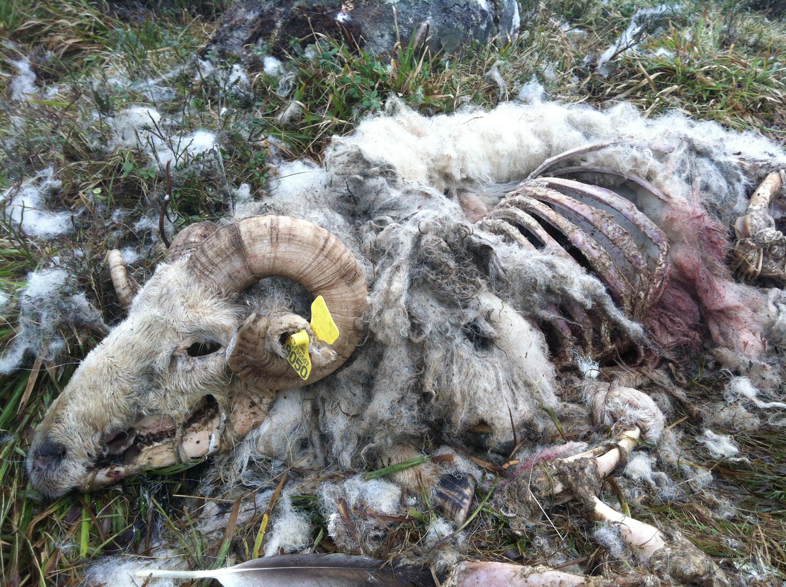Fotos gratis : pájaro, animal, fauna silvestre, oveja, muerto, vida ...