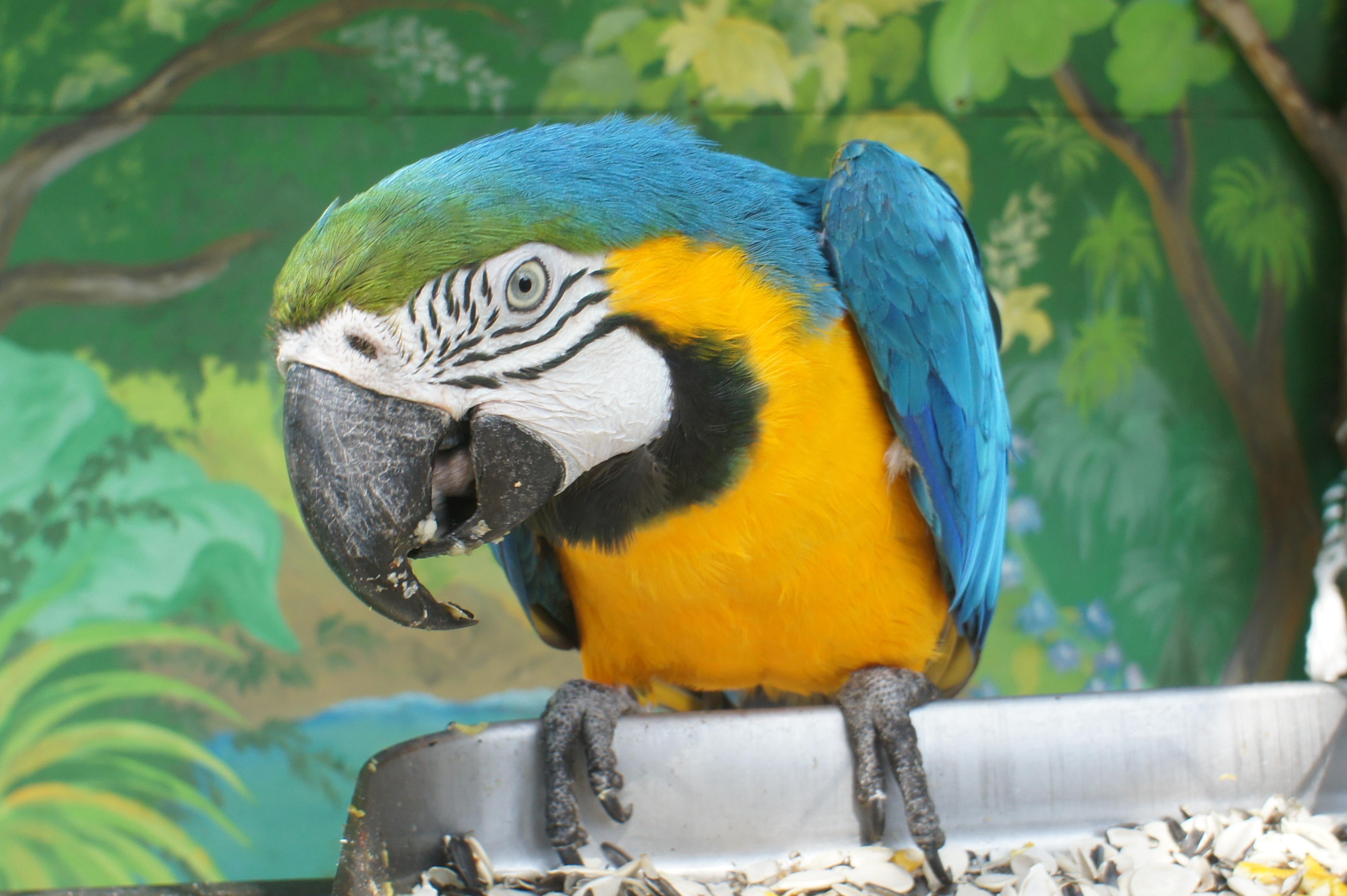 Говорящие попугаи цена фото