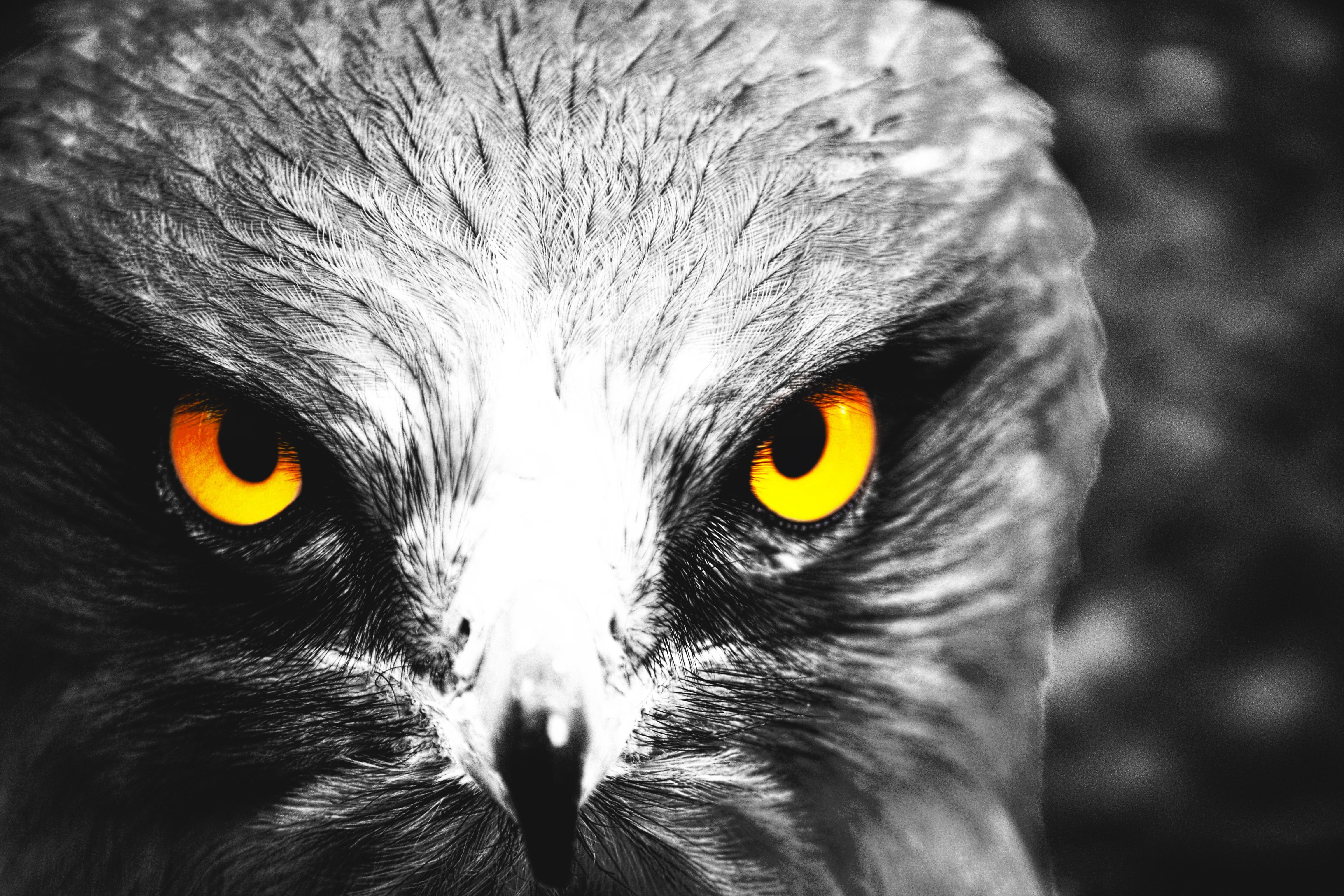 Images gratuites oiseau noir et blanc la photographie for Oiseau noir bec jaune