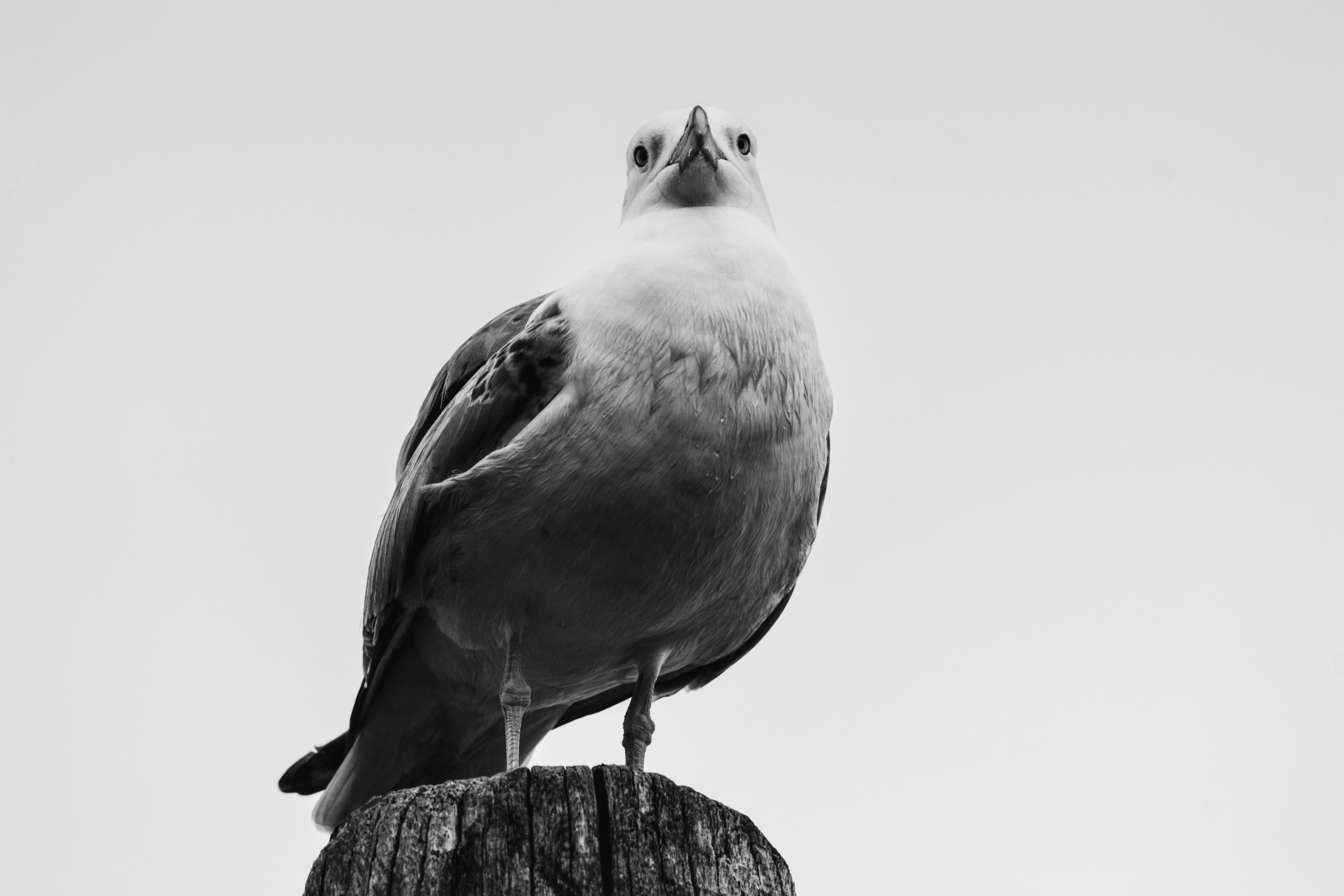 47 Foto Gambar Burung Merpati Hitam Putih HD