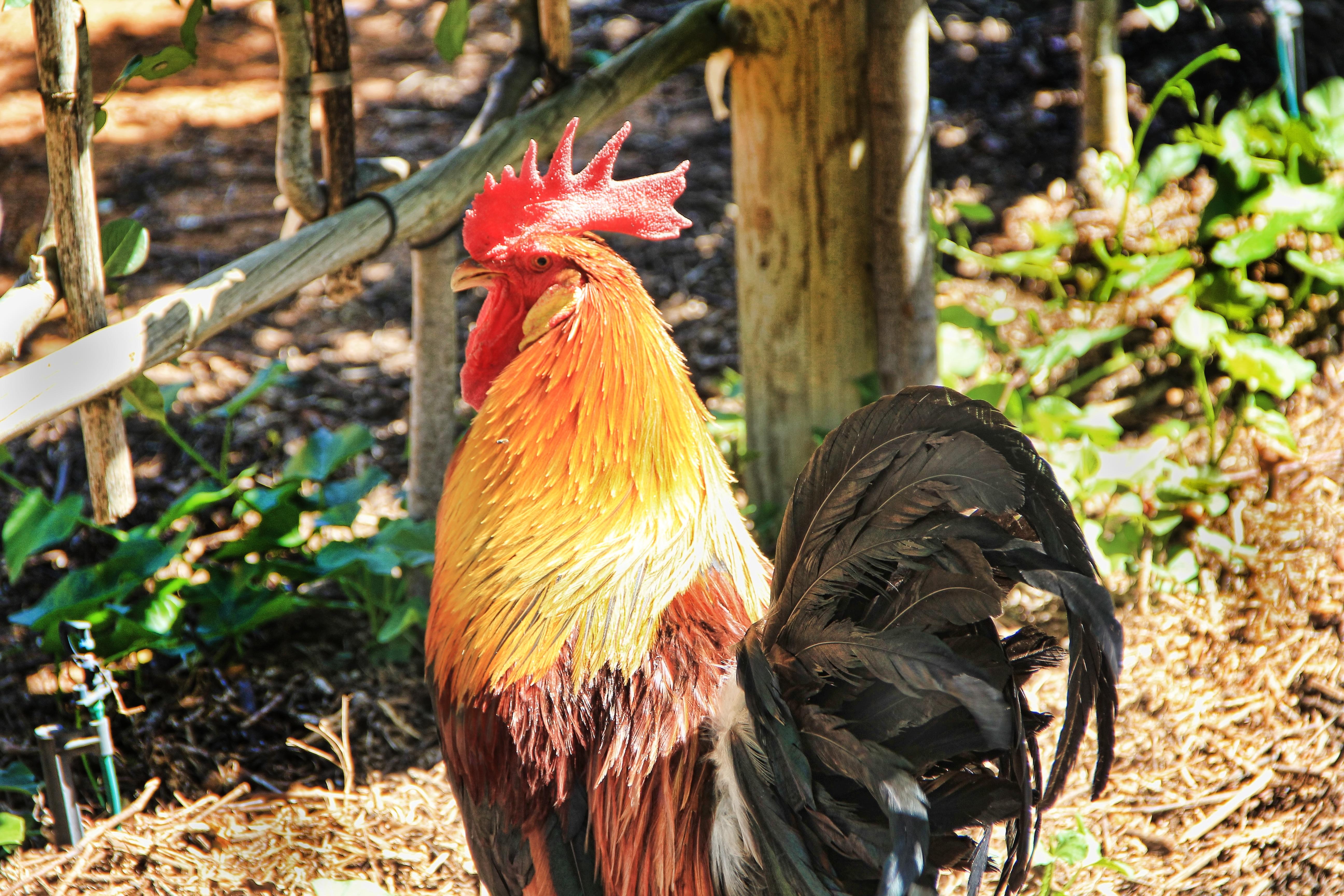Poze Fermă Colorat Pană Pui Găină Faună Păsări De