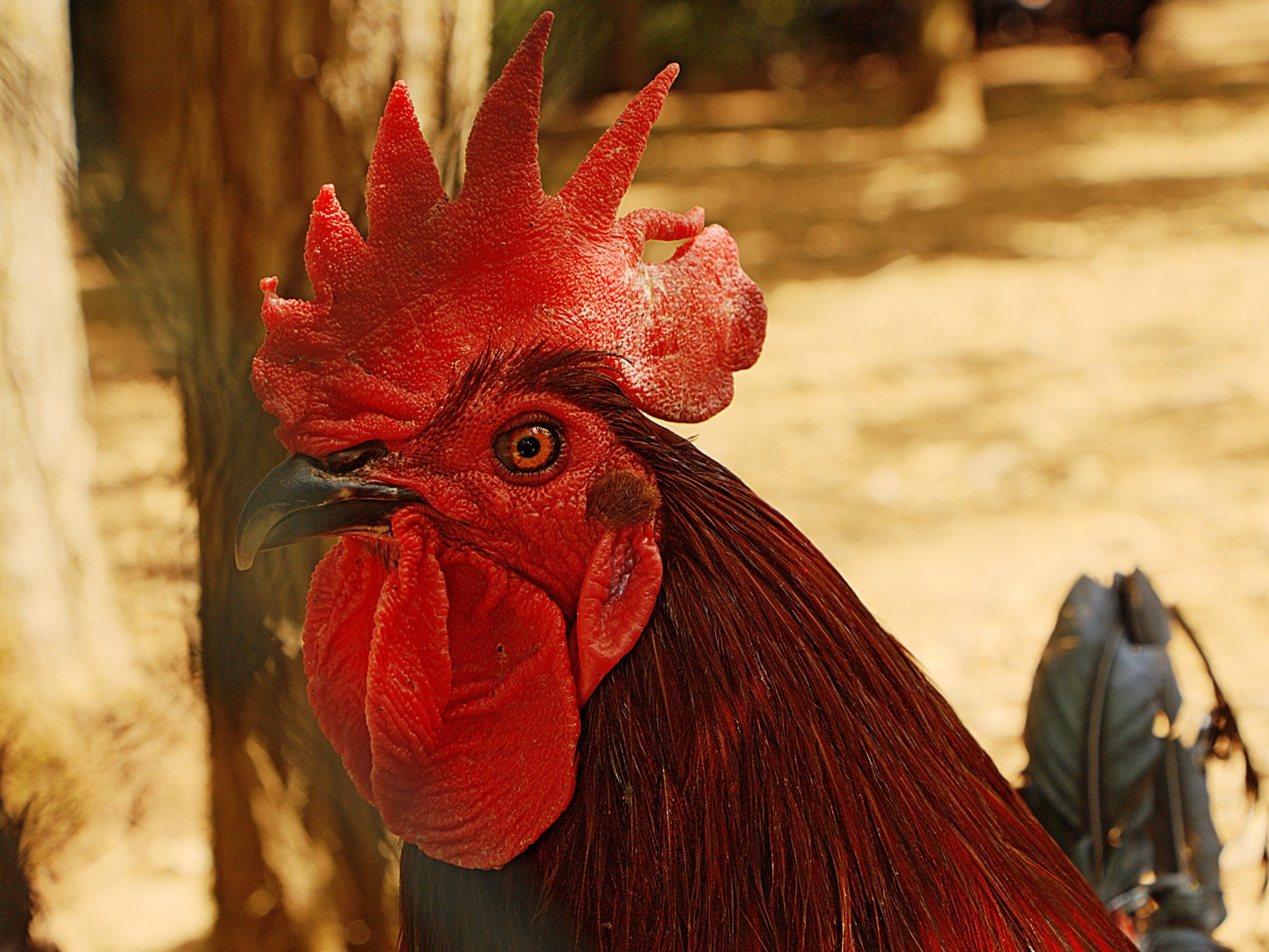 Fotos gratis : pájaro, granja, flor, animal, rojo, color, pollo ...
