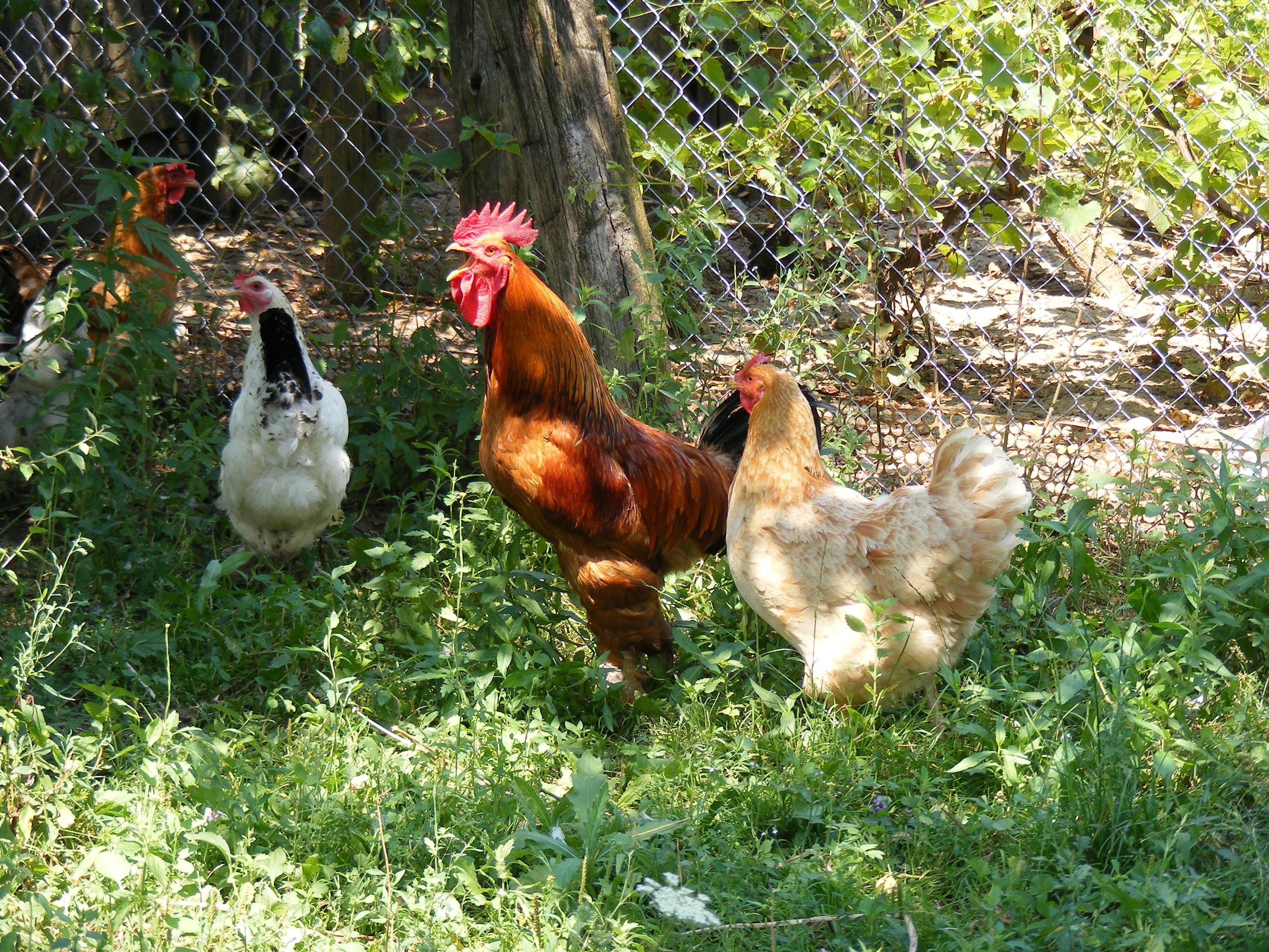 Images Gratuites Oiseau Ferme Jardin Poulet Faune Coq La