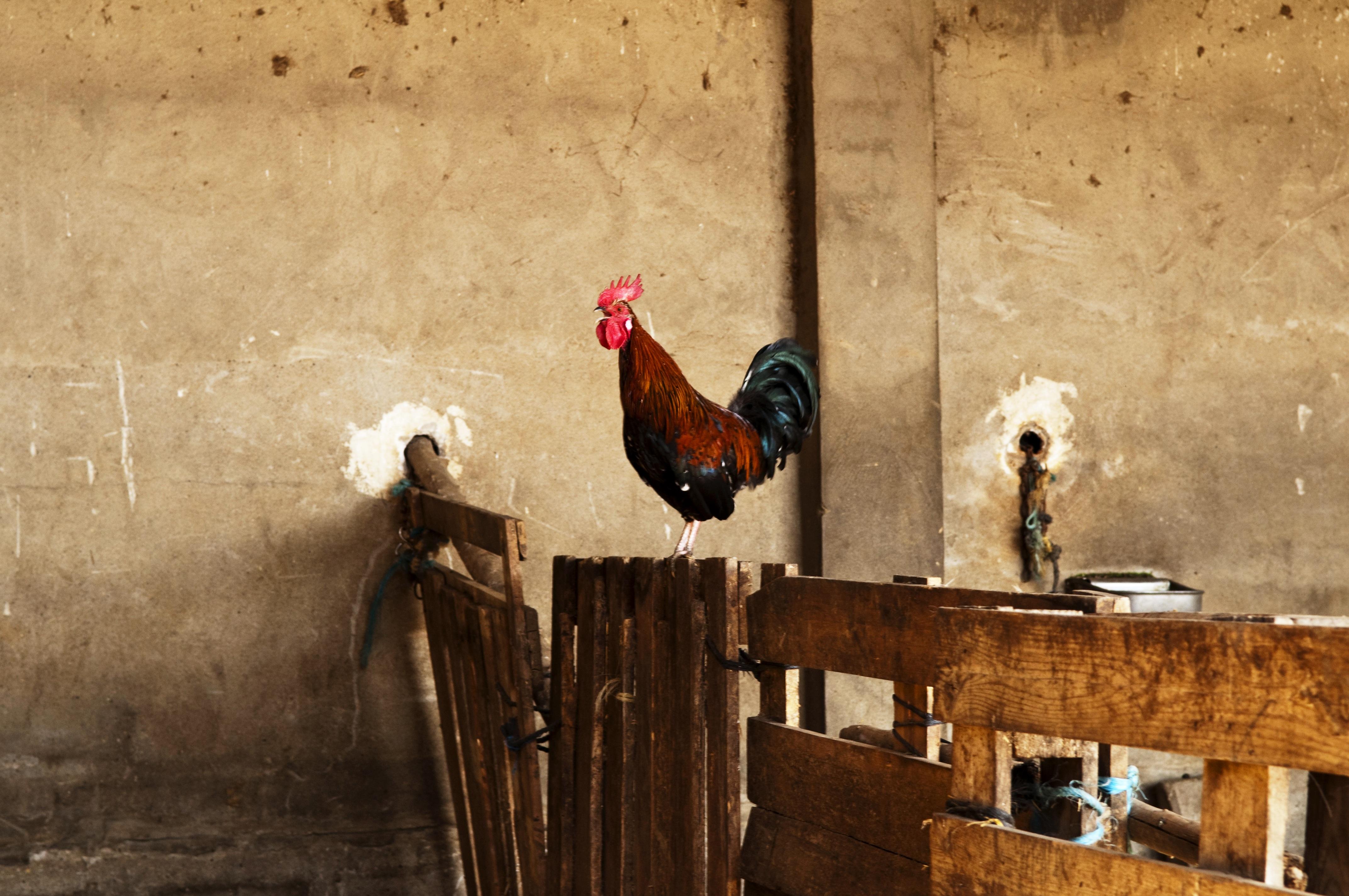 Fotos gratis : pájaro, granja, pared, color, agricultura, pollo ...