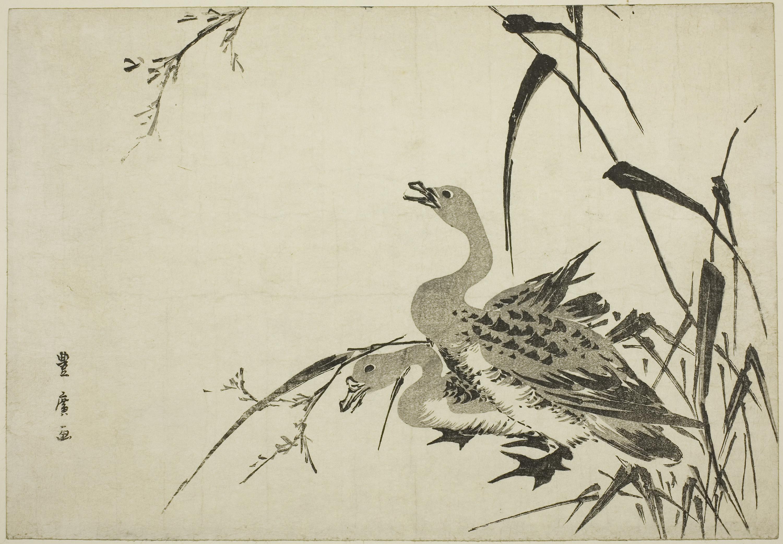 Gambar Fauna Burung Air Itik Angsa Dan Angsa Bebek