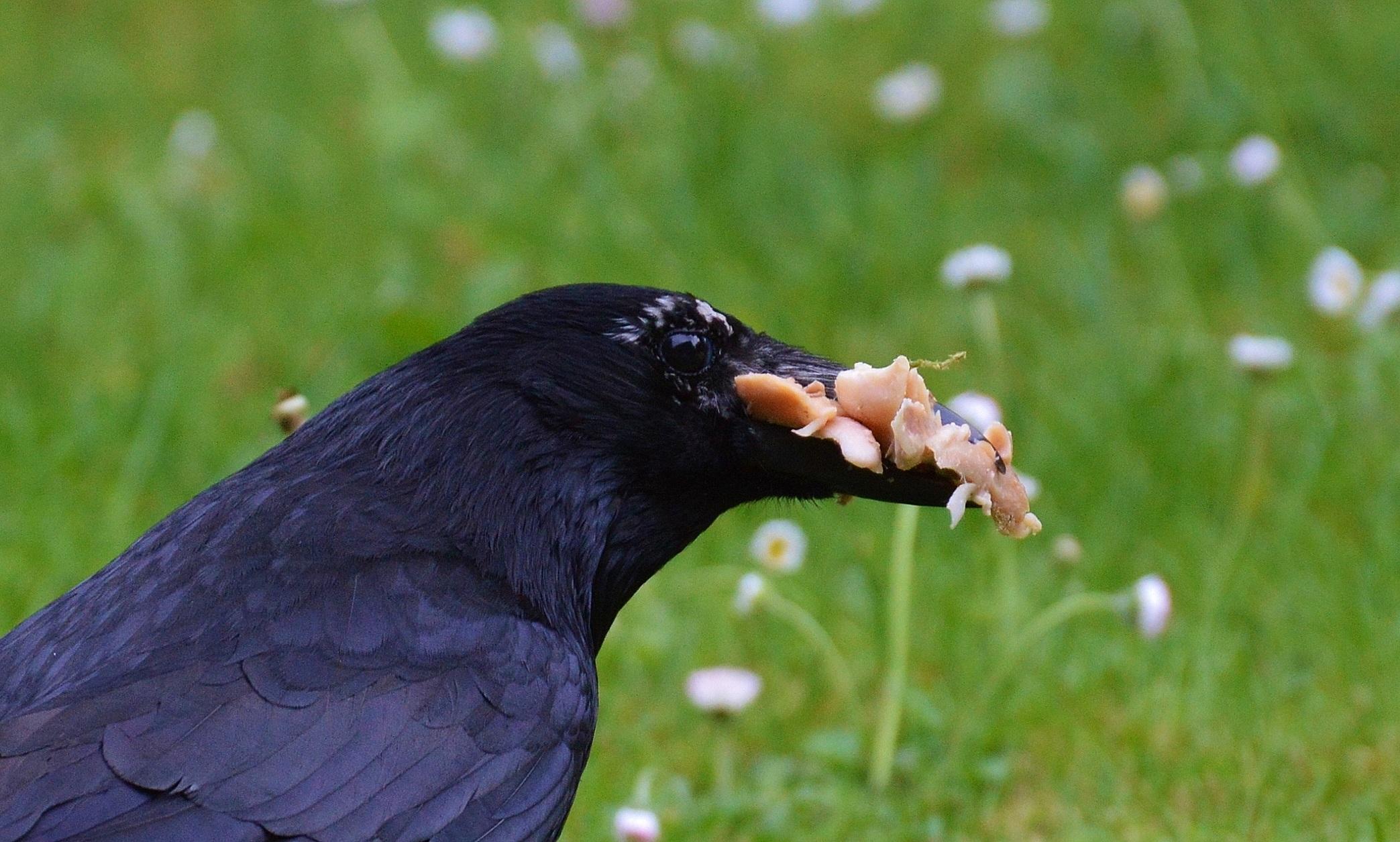images gratuites oiseau mouche faune le bec noir manger plume vert br facture oiseau. Black Bedroom Furniture Sets. Home Design Ideas