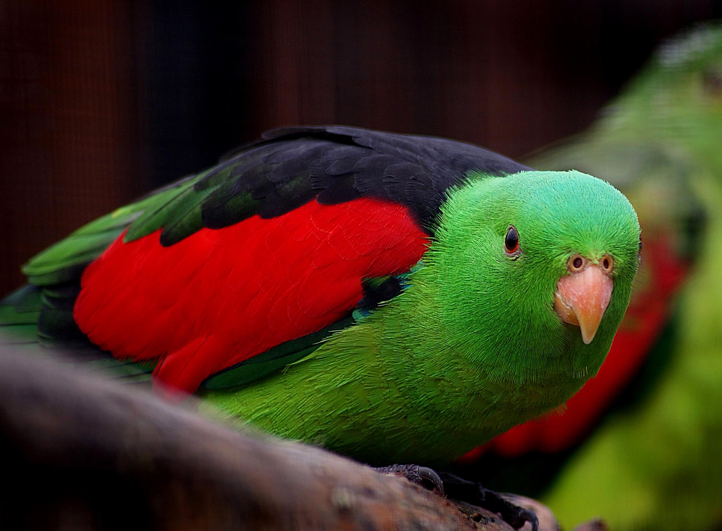 Fotos gratis : pájaro, verde, rojo, pico, fauna, Lorikeet, periquito ...