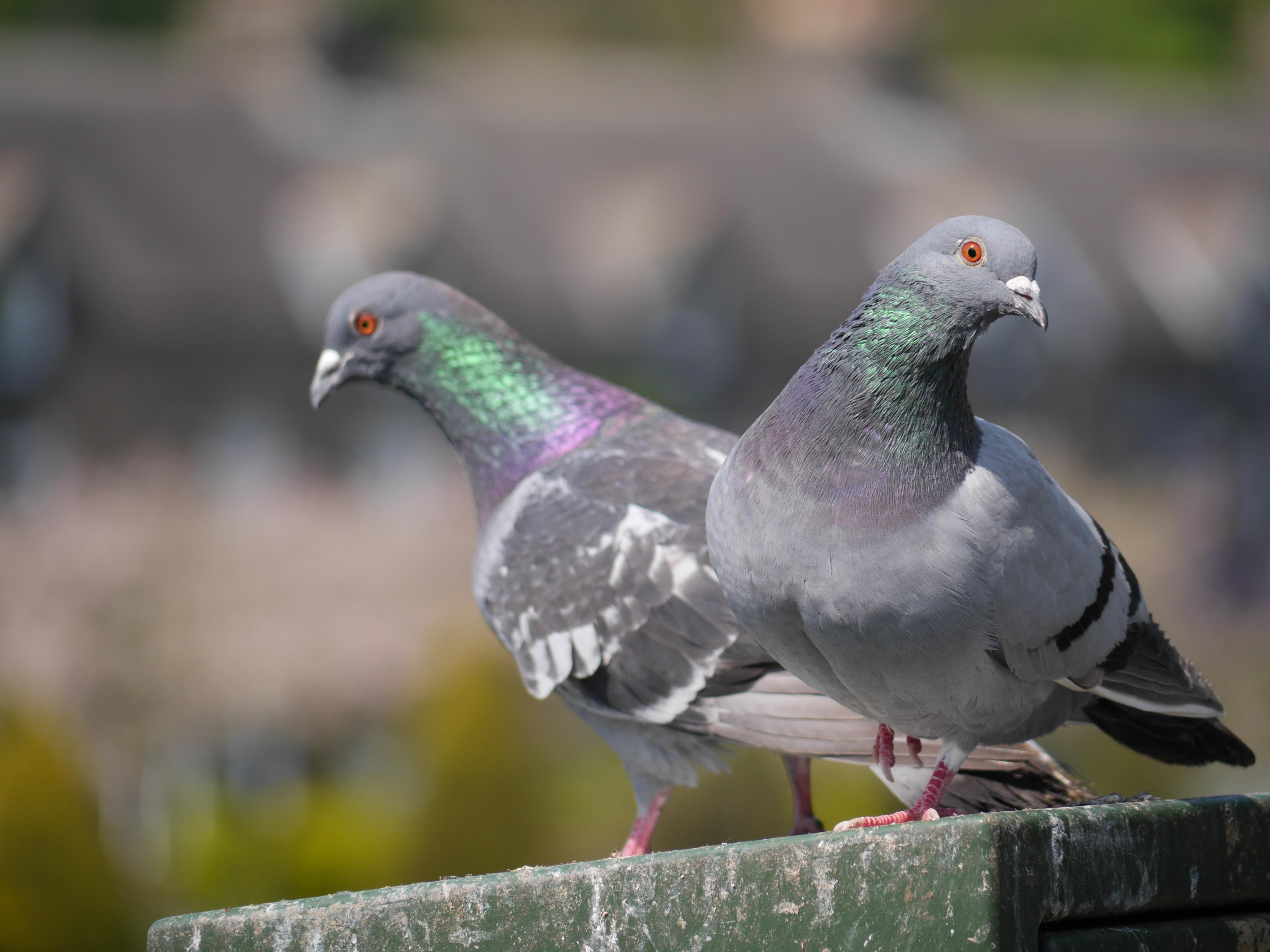 из-за голуби баян картинка депп