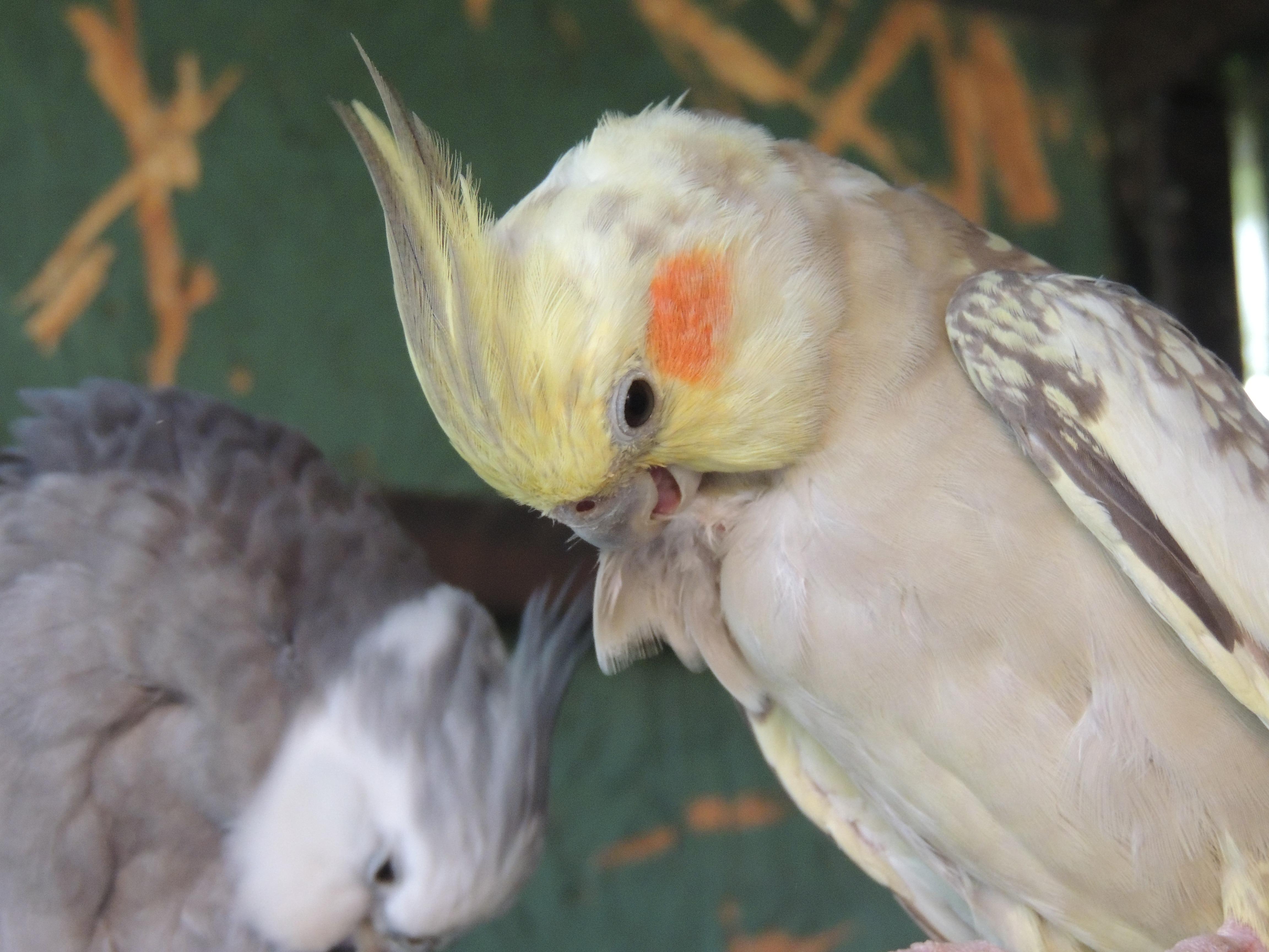 Fotoğraf Aşk Gaga çift Bakım Kuş Tüyü Fauna Muhabbetkuşu