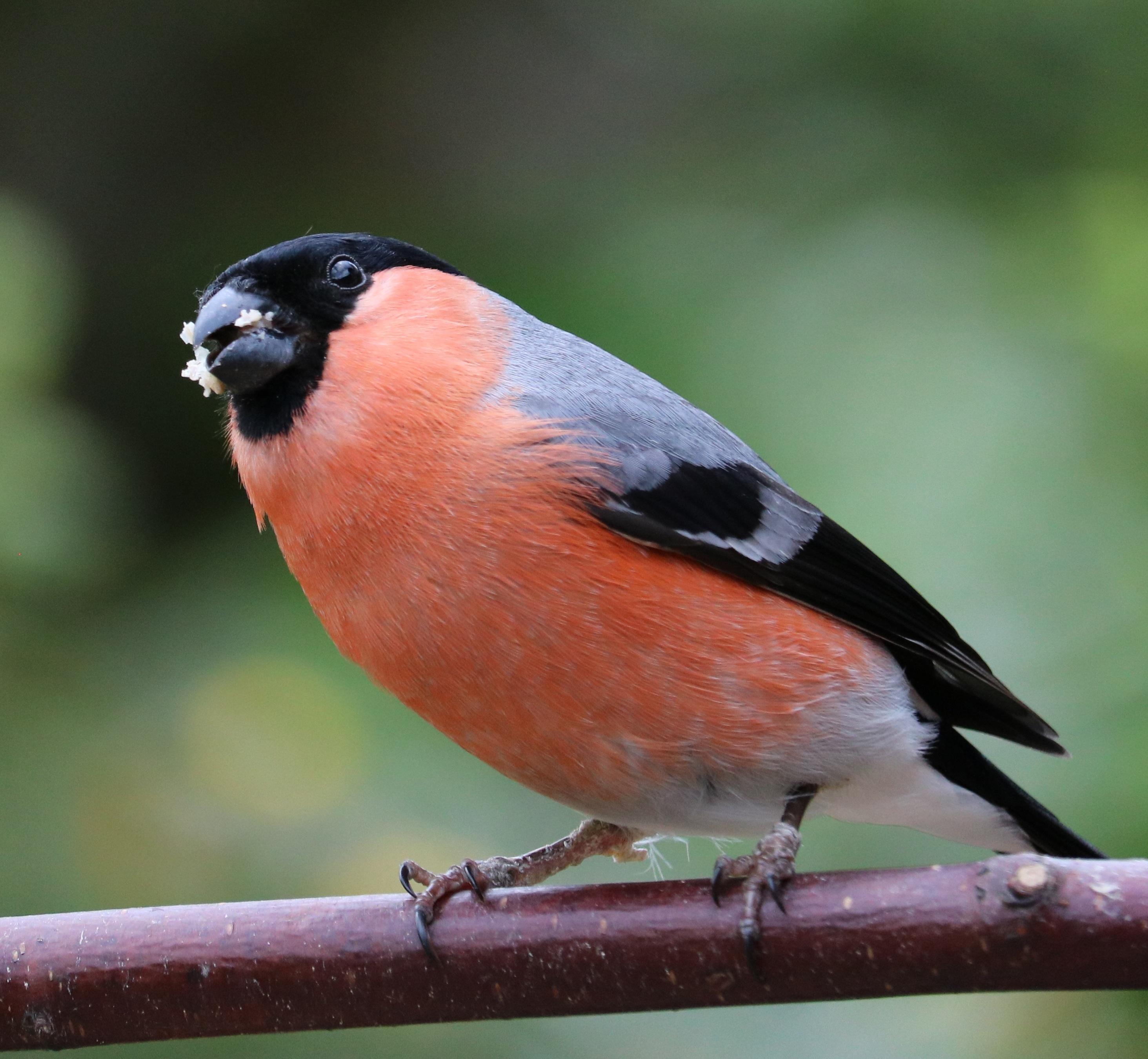 Gratuites oiseau m¢le faune rouge le bec vertébré