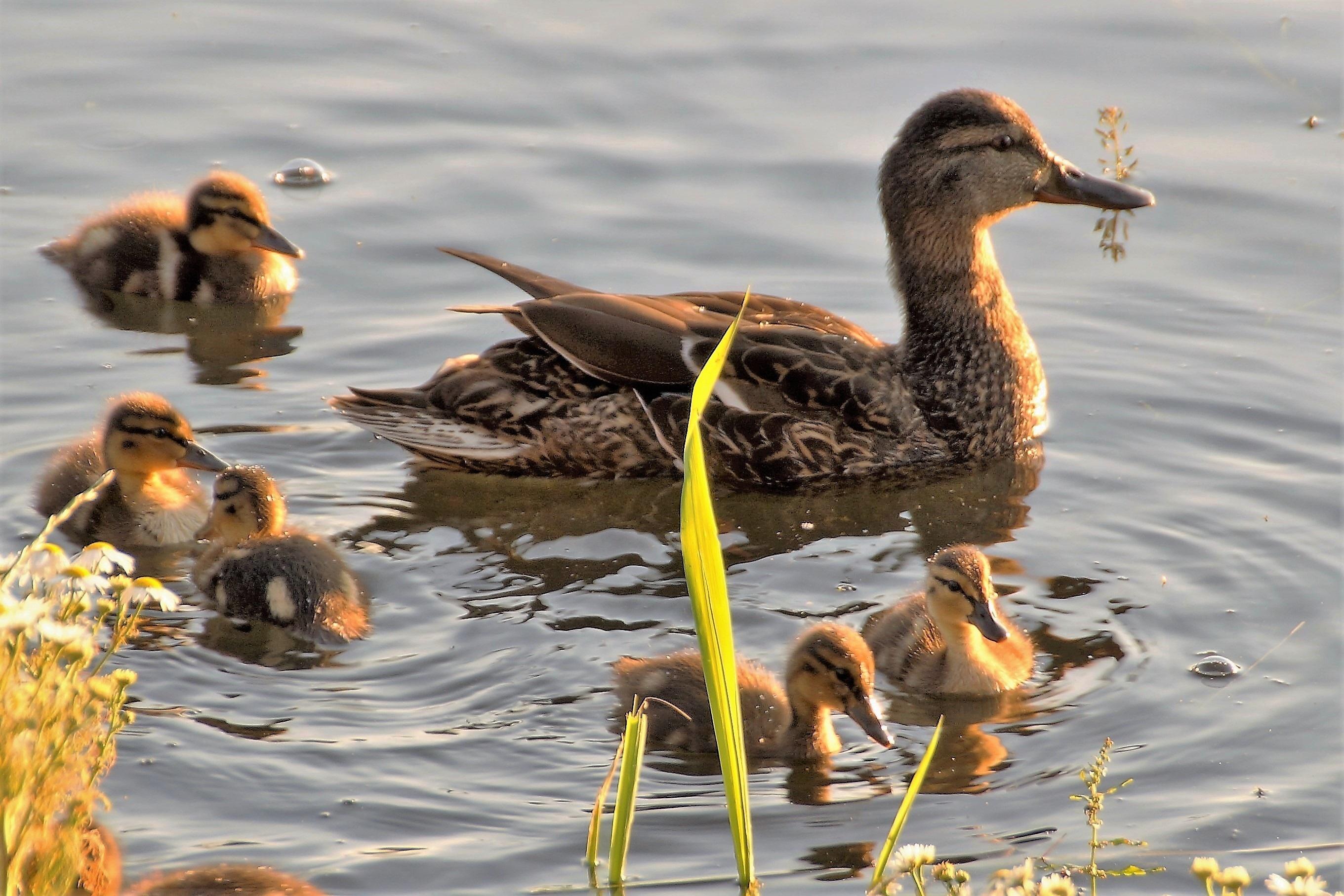 очень хотел, фото водоплавающих птиц с названием рядом пищухи