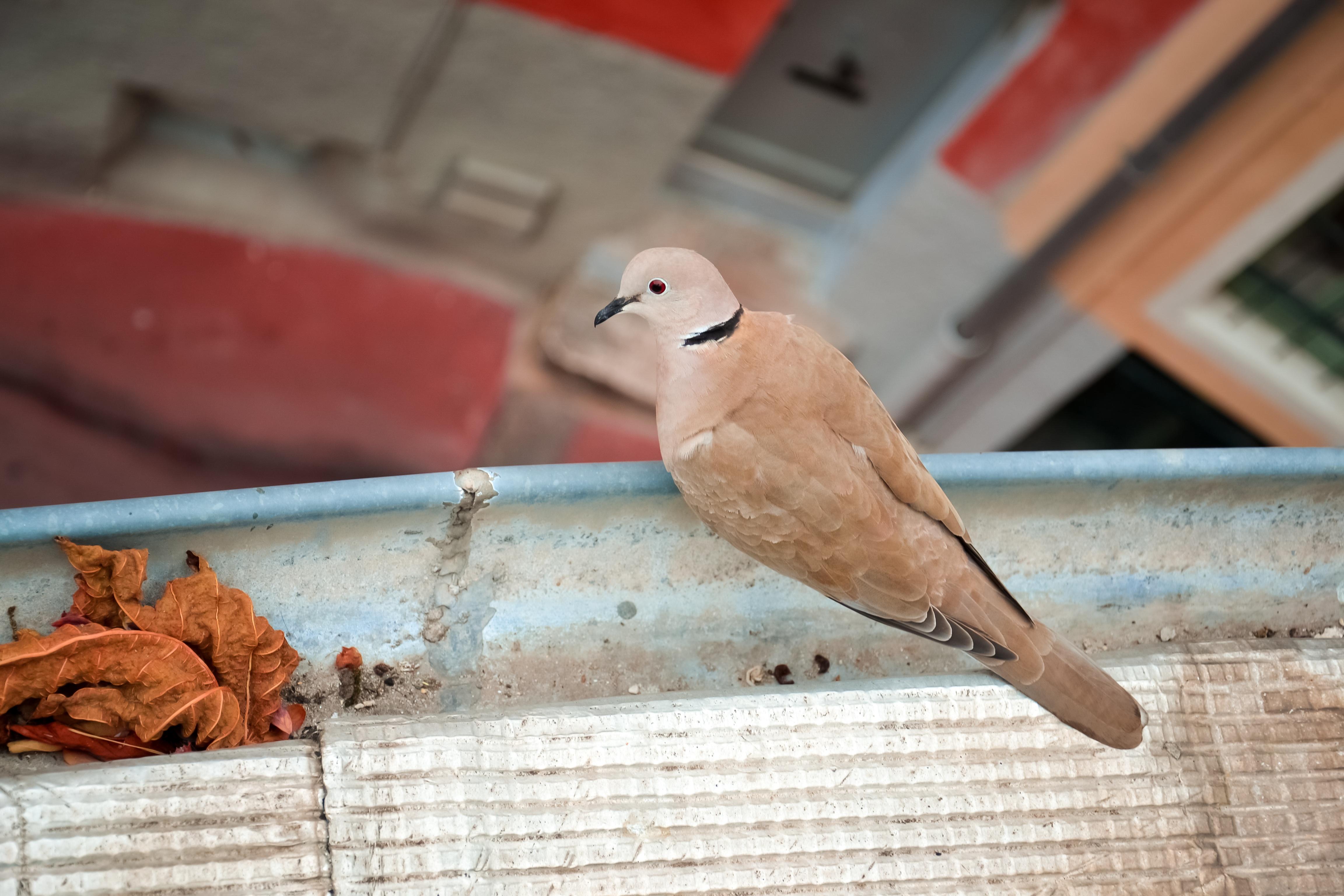 Gambar Merah Paruh Fauna Bertulang Belakang Finch