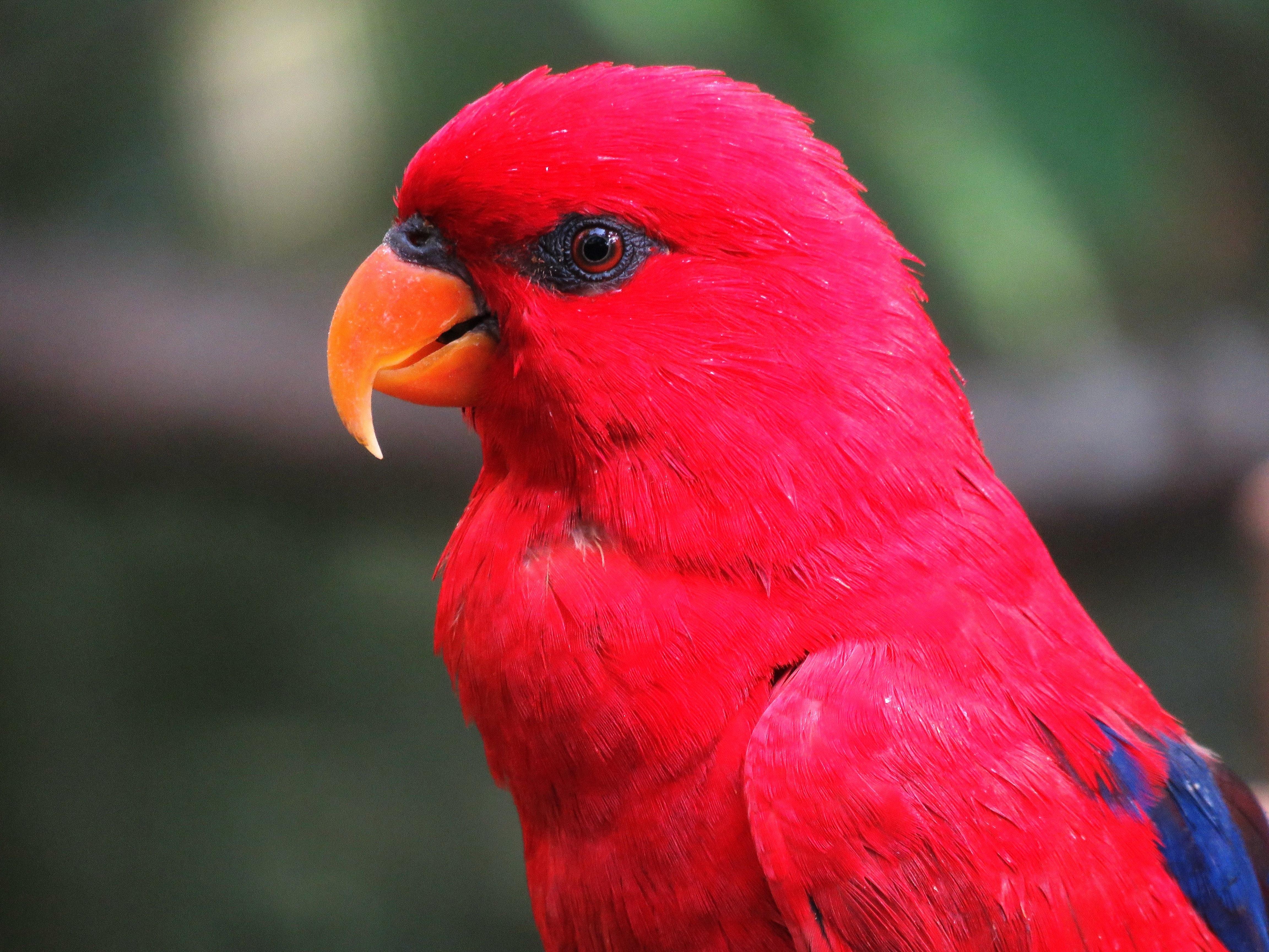 картинки попугай красный ёлочка, бязательно попробуем