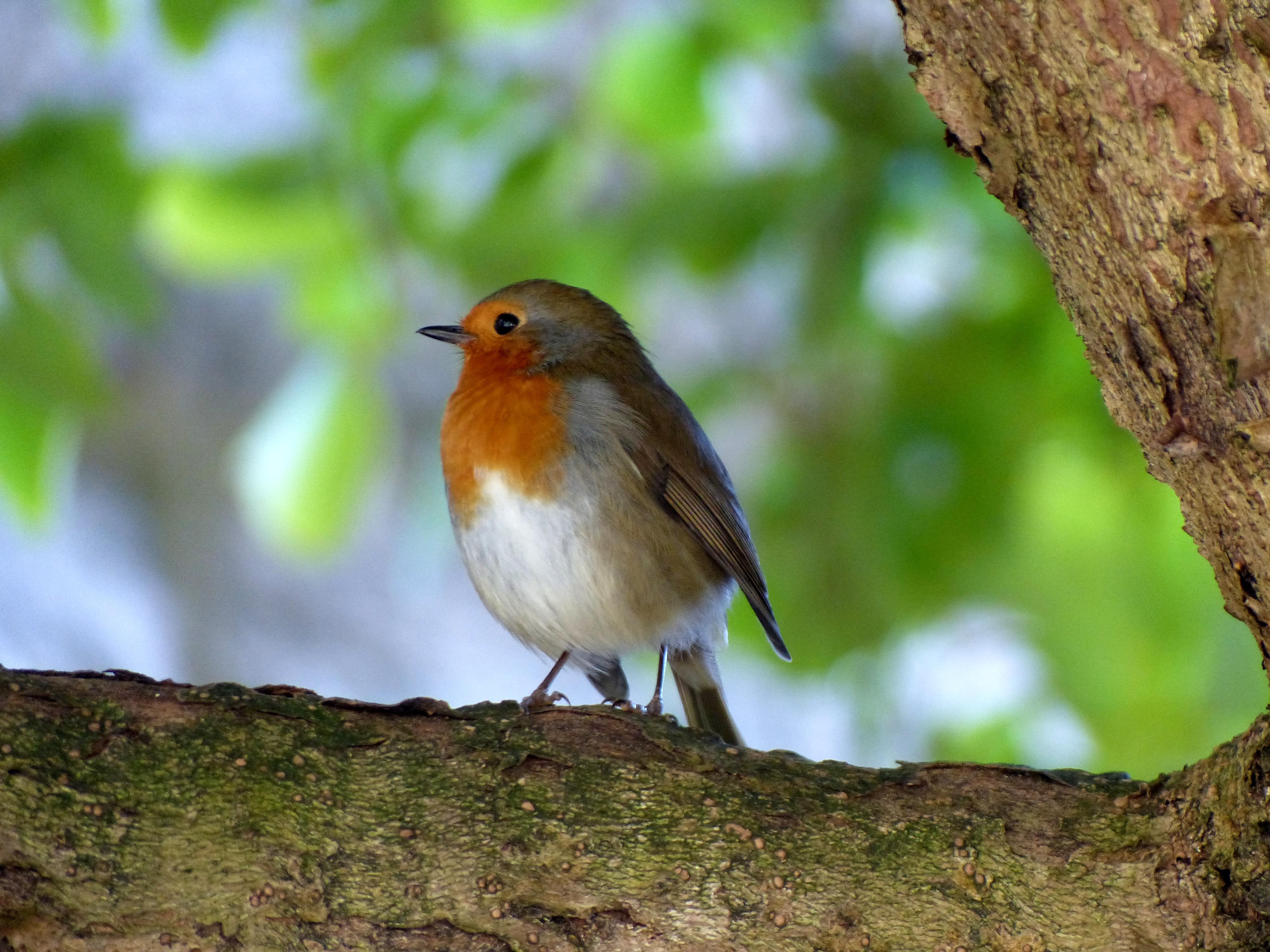 free images robin nature foraging close animals. Black Bedroom Furniture Sets. Home Design Ideas