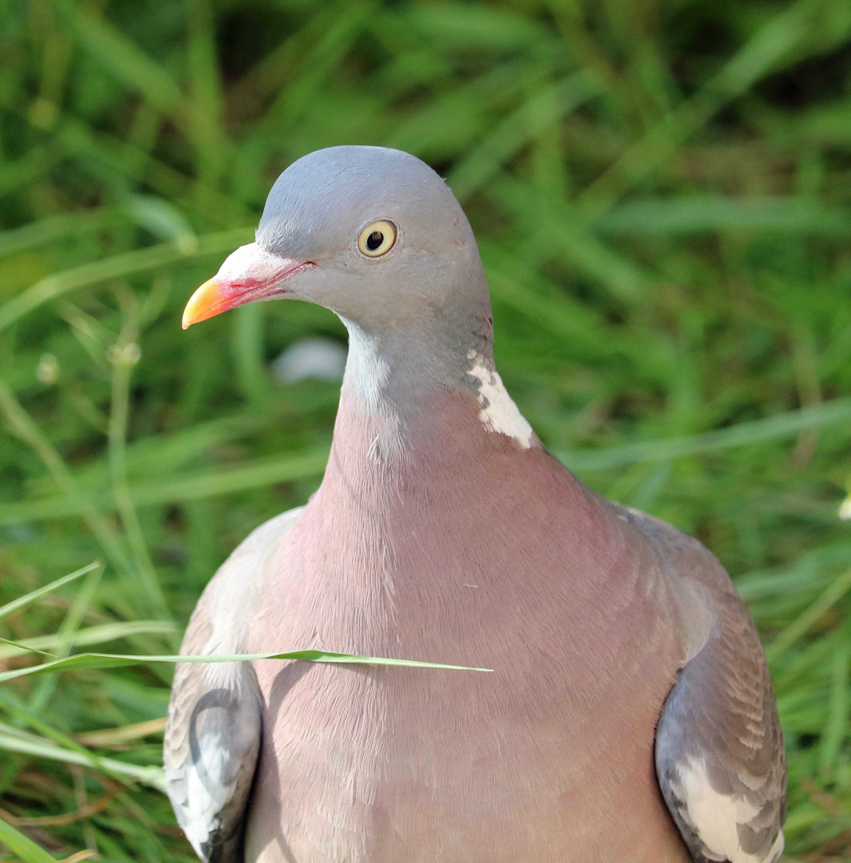 Free images bird seabird wildlife beak close fauna pigeon bird seabird wildlife beak close fauna pigeon head vertebrate pigeons and doves stock dove buycottarizona