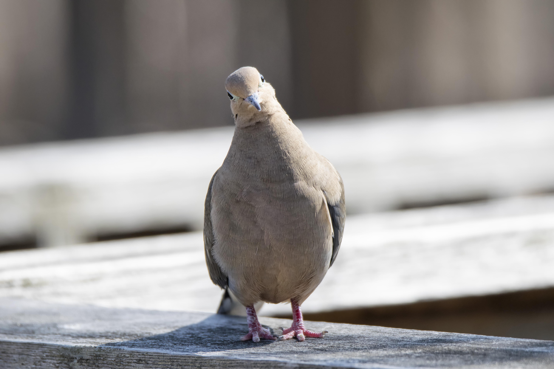 героической канадский голубь фото выделена одна