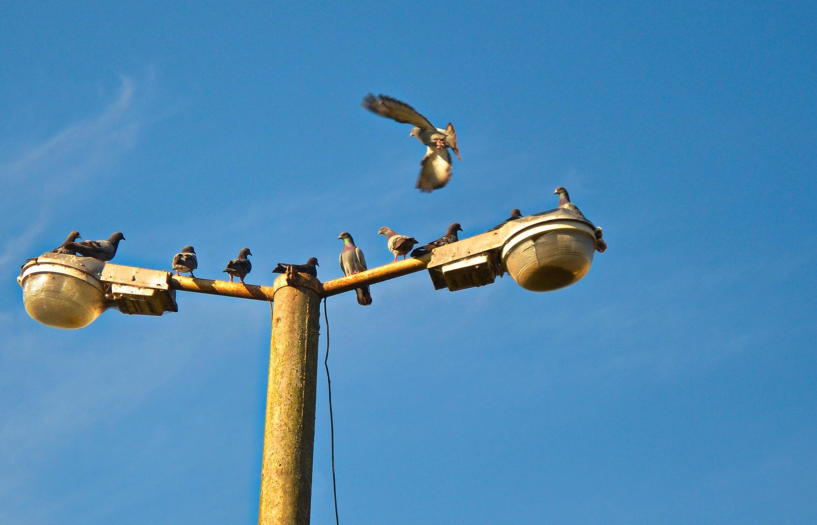 vogel hemel straat lucht wind vliegend vlucht blauw straatlantaarn vrijheid verlichting vogelstand duiven coulissen lichtpunt lichtmast
