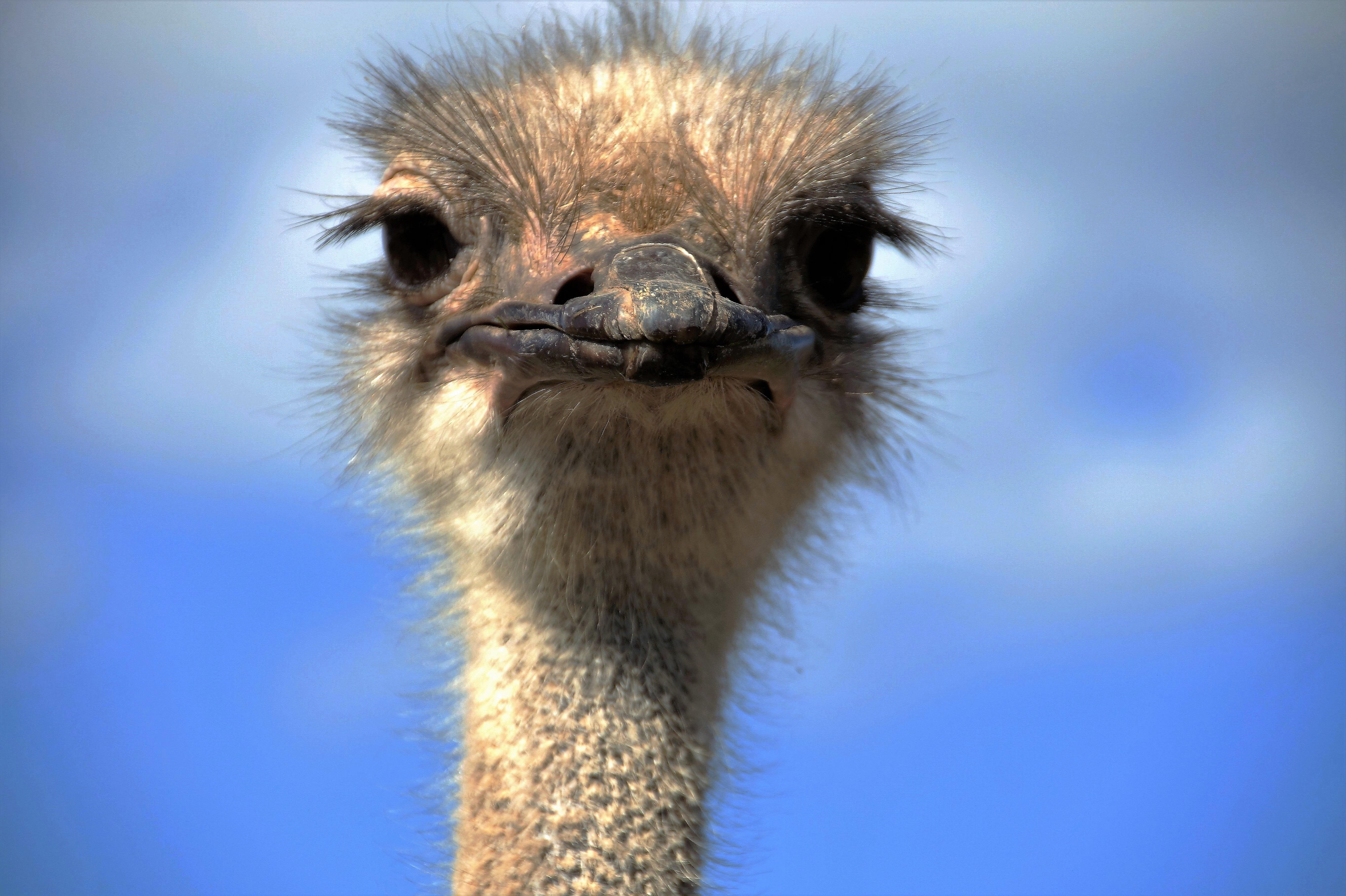 Смотреть картинки страуса