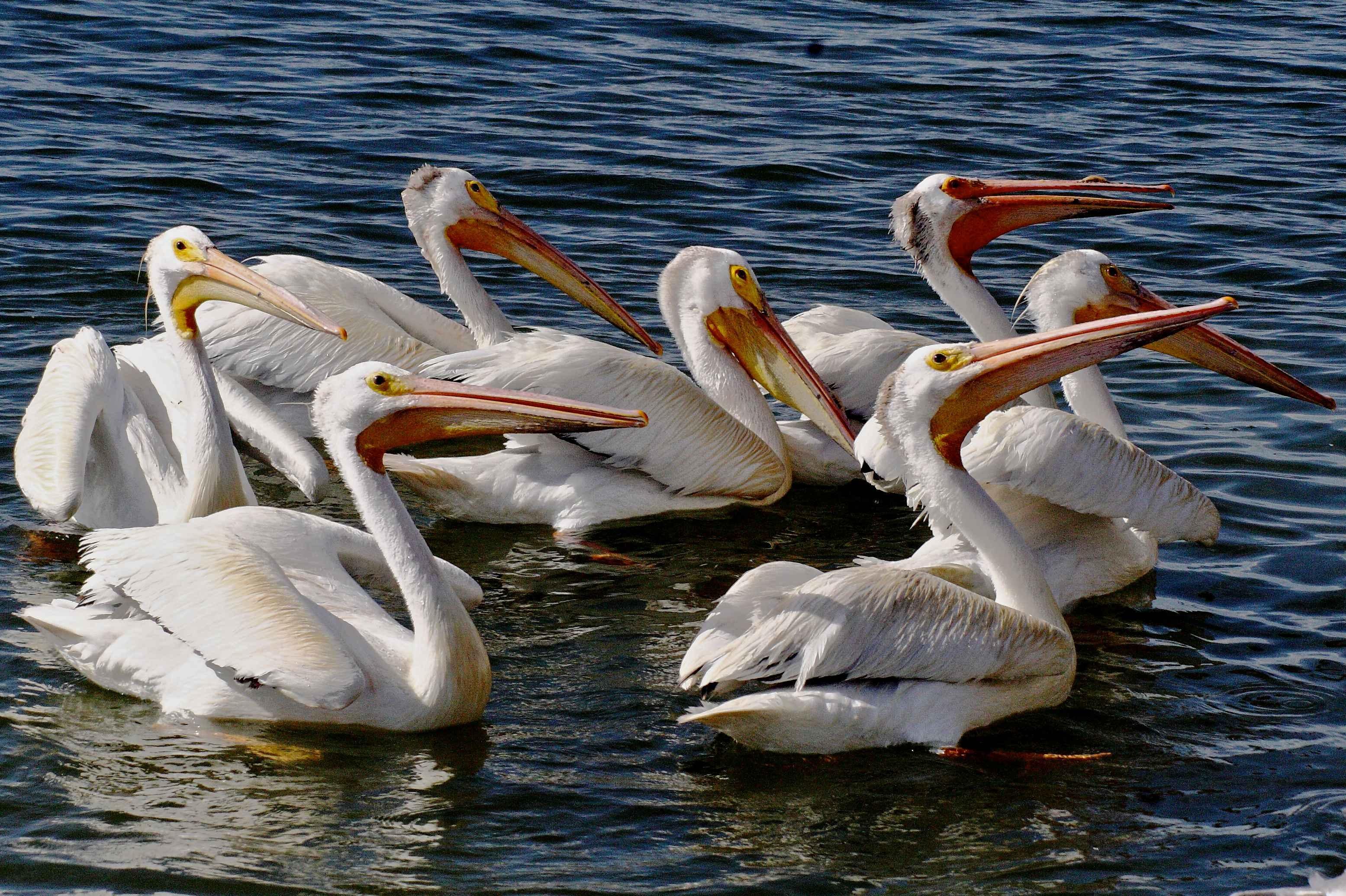 Bird White Pelican Seabird Wildlife Beak Aerial Fauna Birds American Animals Vertebrate Pelecaniformes