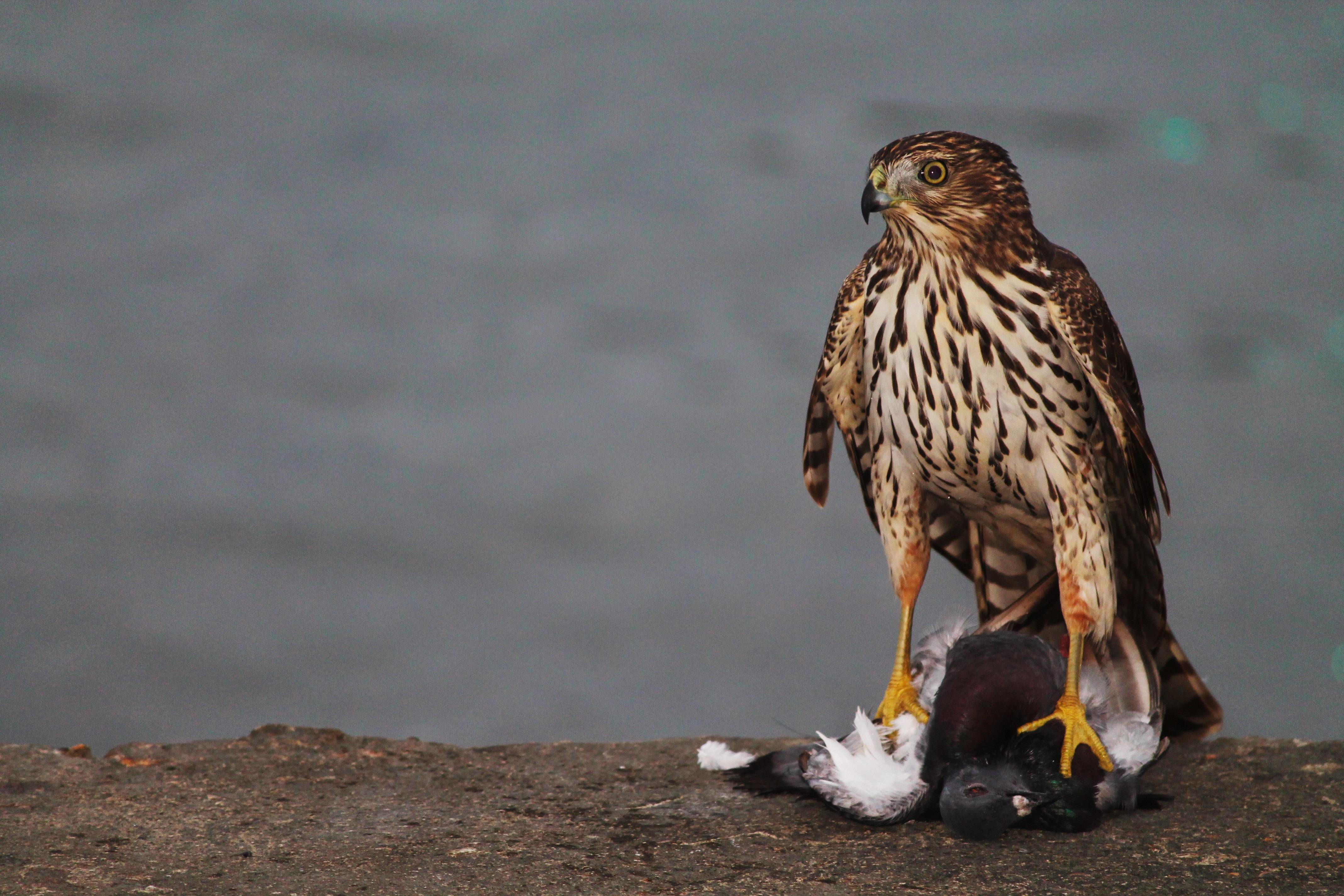 соколы ястребы и орлы хищные птицы фото чтобы была мультизагрузка