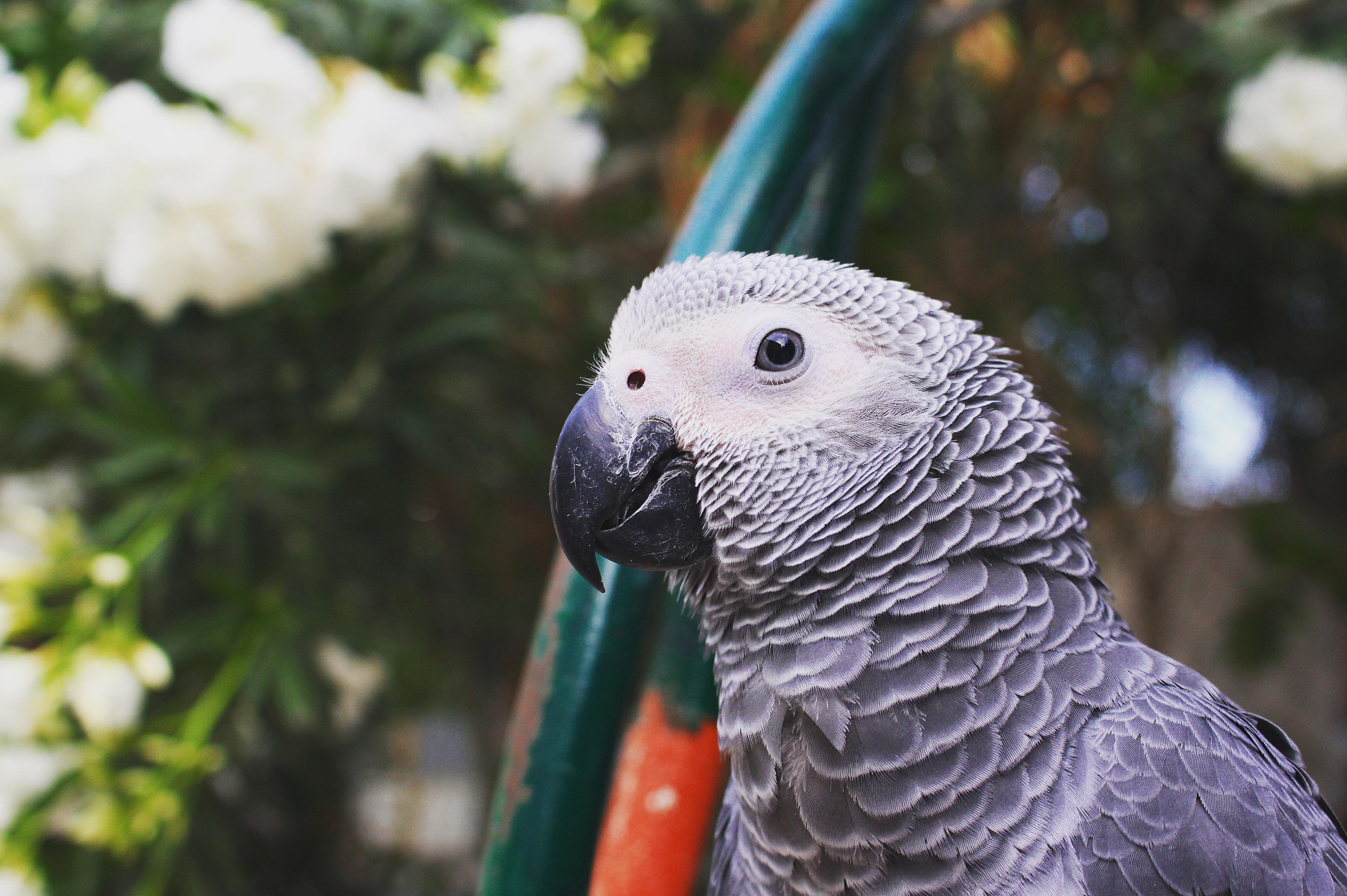 Images Gratuites Oiseau Faune Le Bec Ara Vertebre Perroquet Perruche Perroquet Commun Cacatoes A Crete Soufree Gris Africain 4096x2726 87123 Banque D Image Gratuite Pxhere