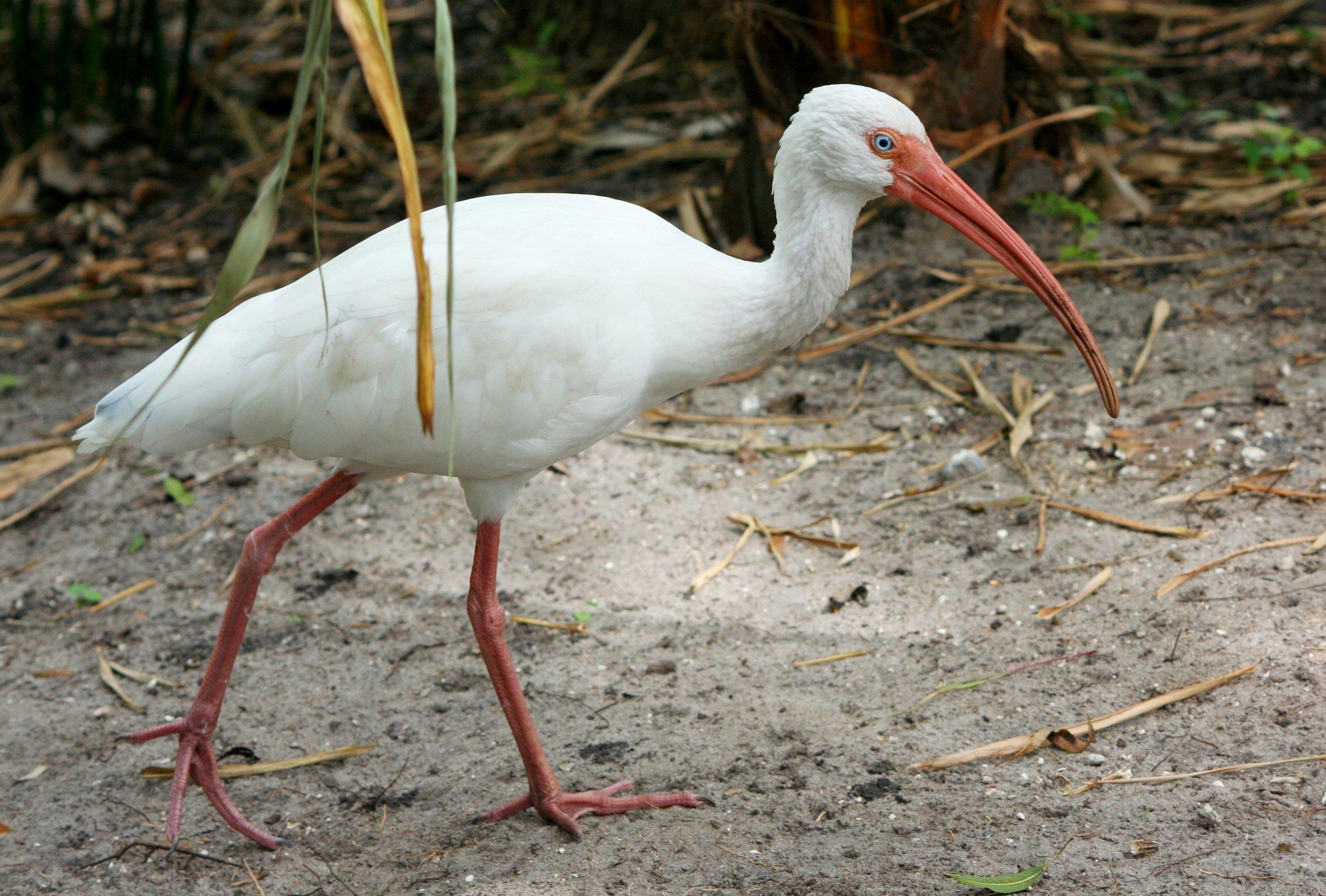 Φωτογραφίες από μεγάλο λευκό πουλί λίπος κώλο σωλήνες πορνό
