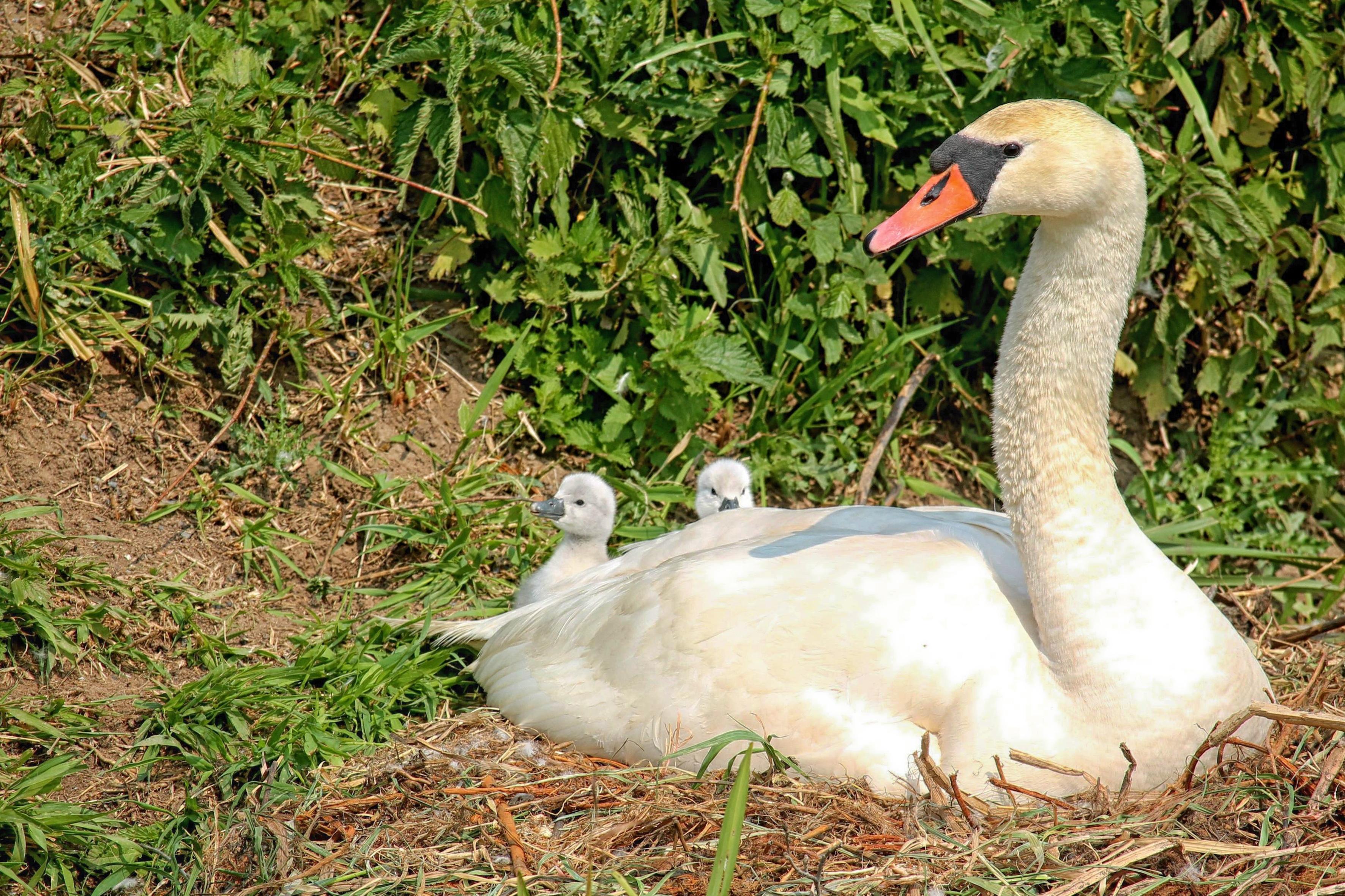 100% authentic 16c4c e0130 Kostenlose foto : Vogel, Tierwelt, Schnabel, Fauna, Schwan ...