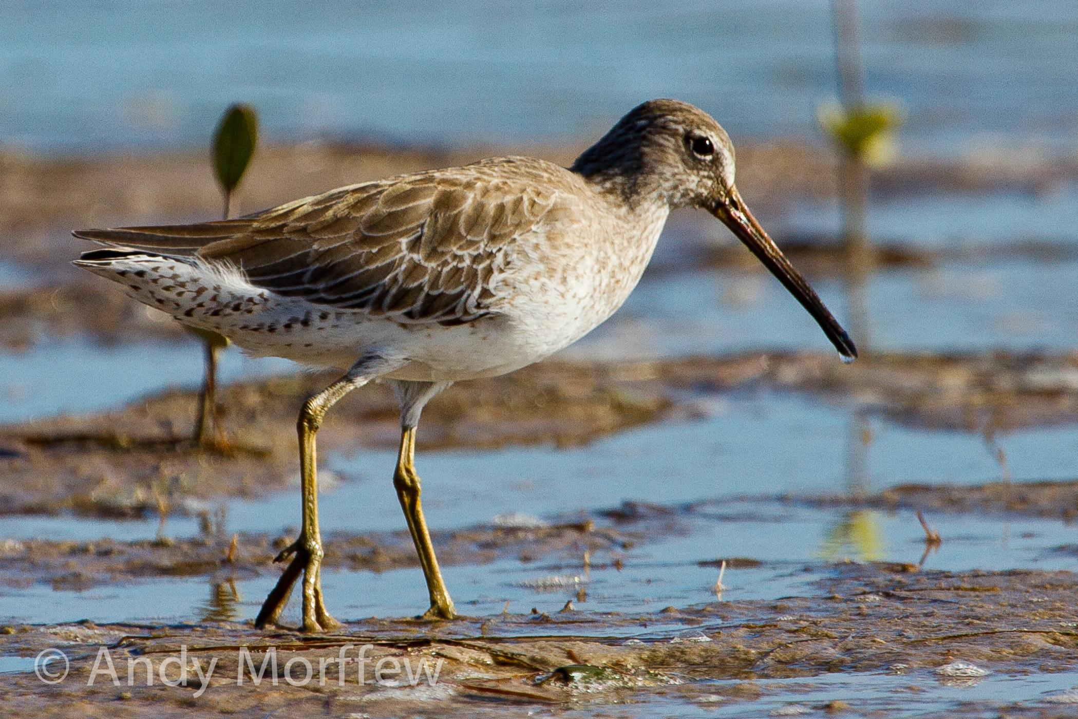 болотная птица кулик картинка зависимости того, какие
