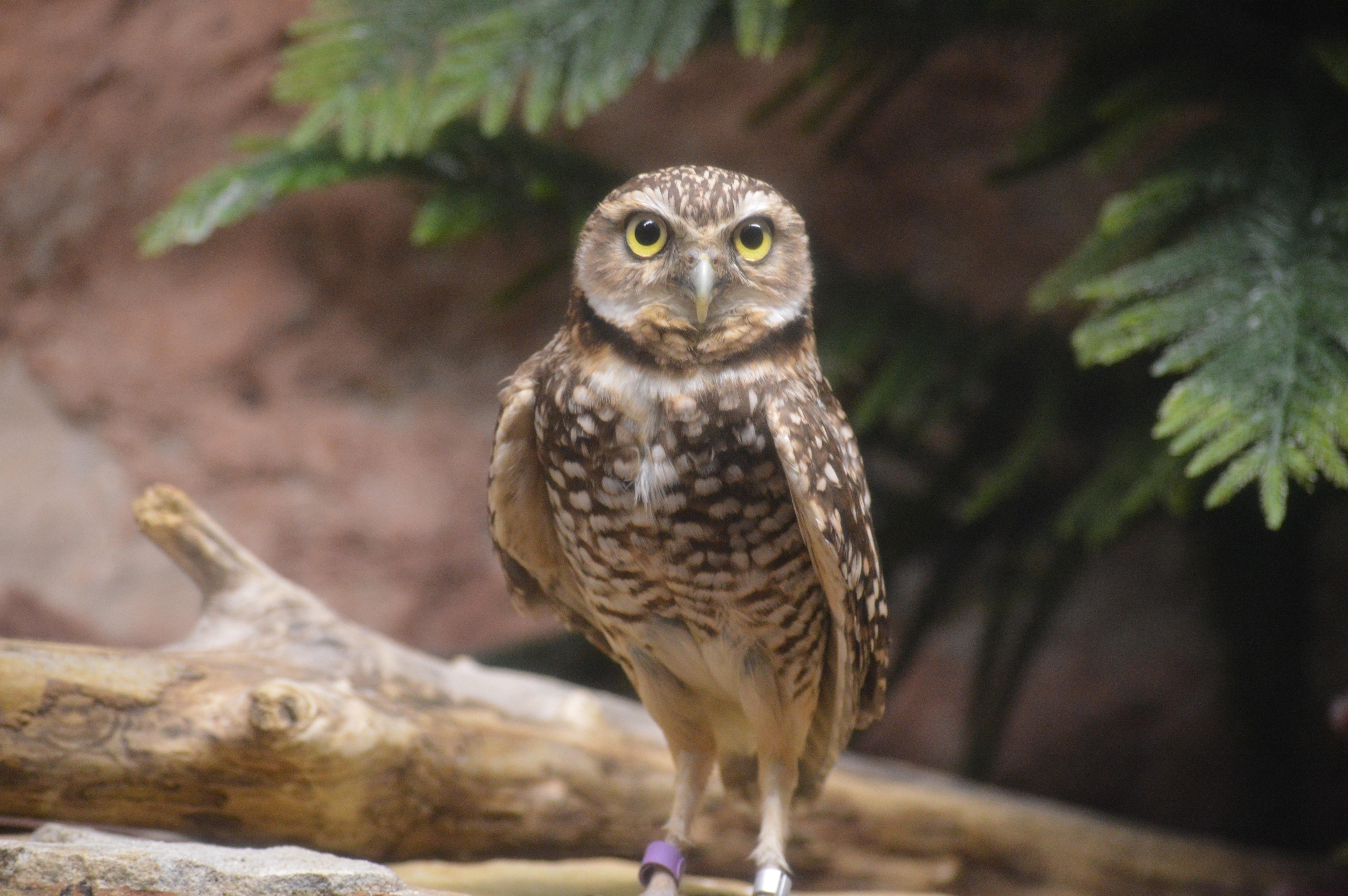 Images gratuites faune le bec hibou plume oiseau de proie en plein air pois les yeux - Image de chouette gratuite ...