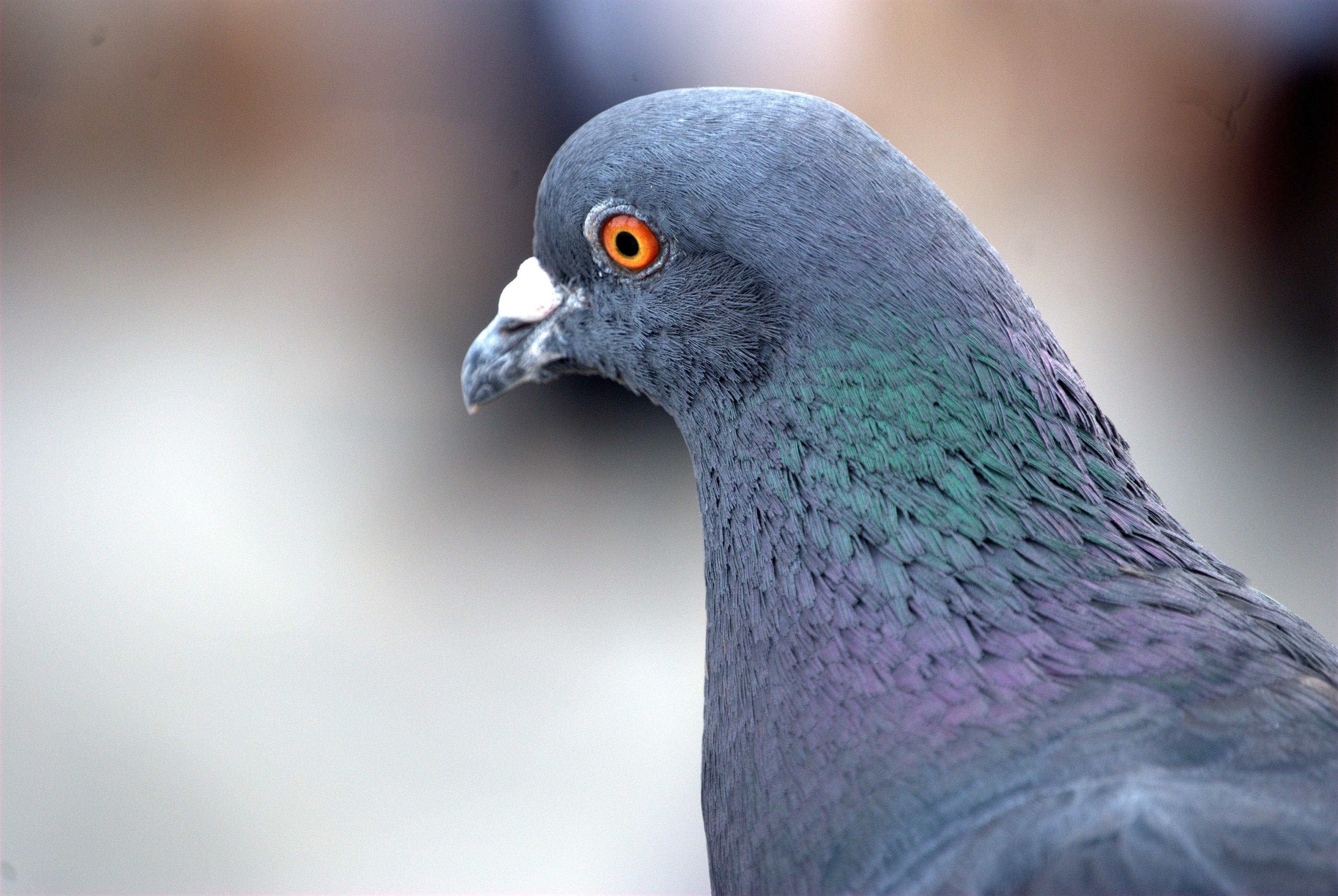 приближением клюв голубя фото самая высокая, доступными