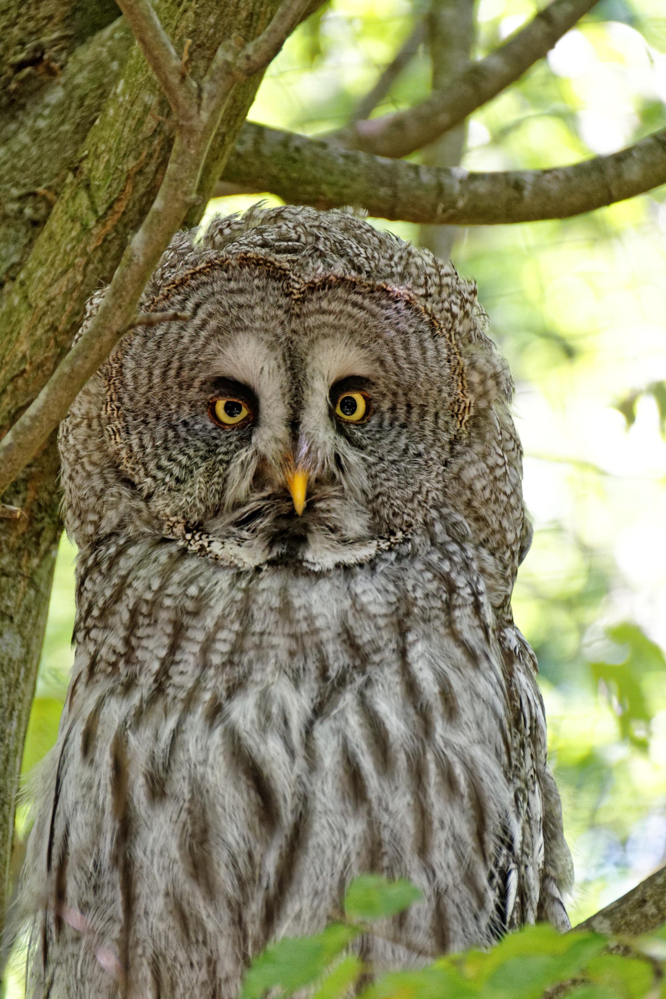 Download 71 Foto Gambar Burung Hantu Gambar Burung Hantu HD Terbaik Gratis