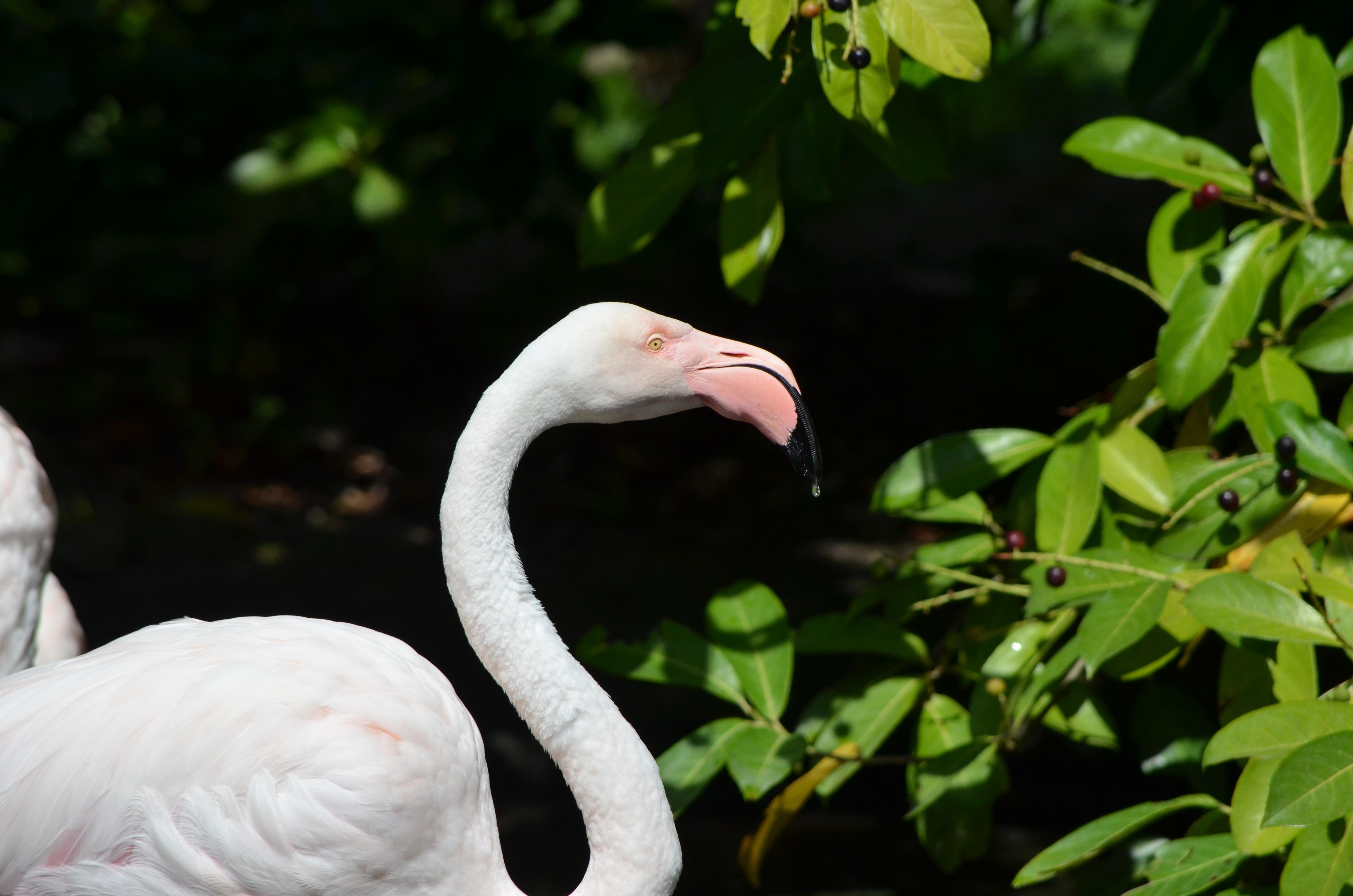 Immagini Belle Natura Zoo Becco Rosa Piuma Fauna Cigno