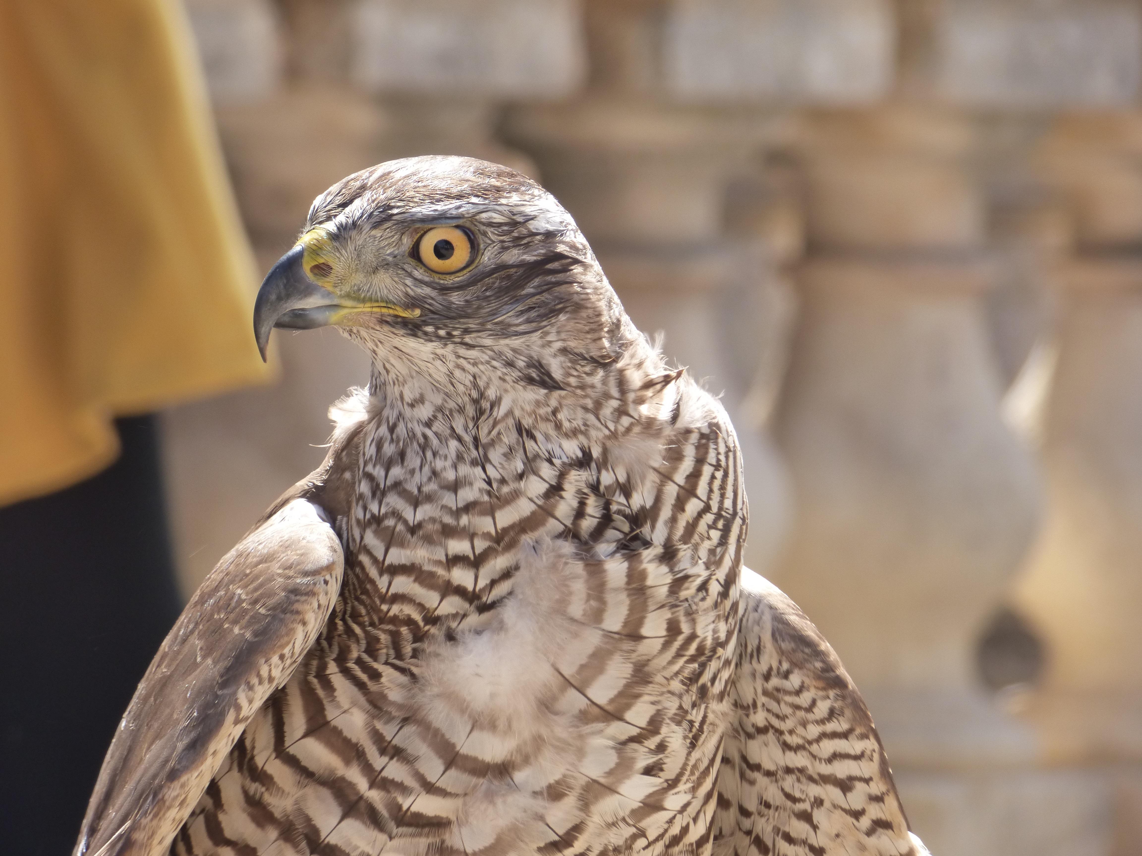 Muhteşem falcon: bir kuş avcısı