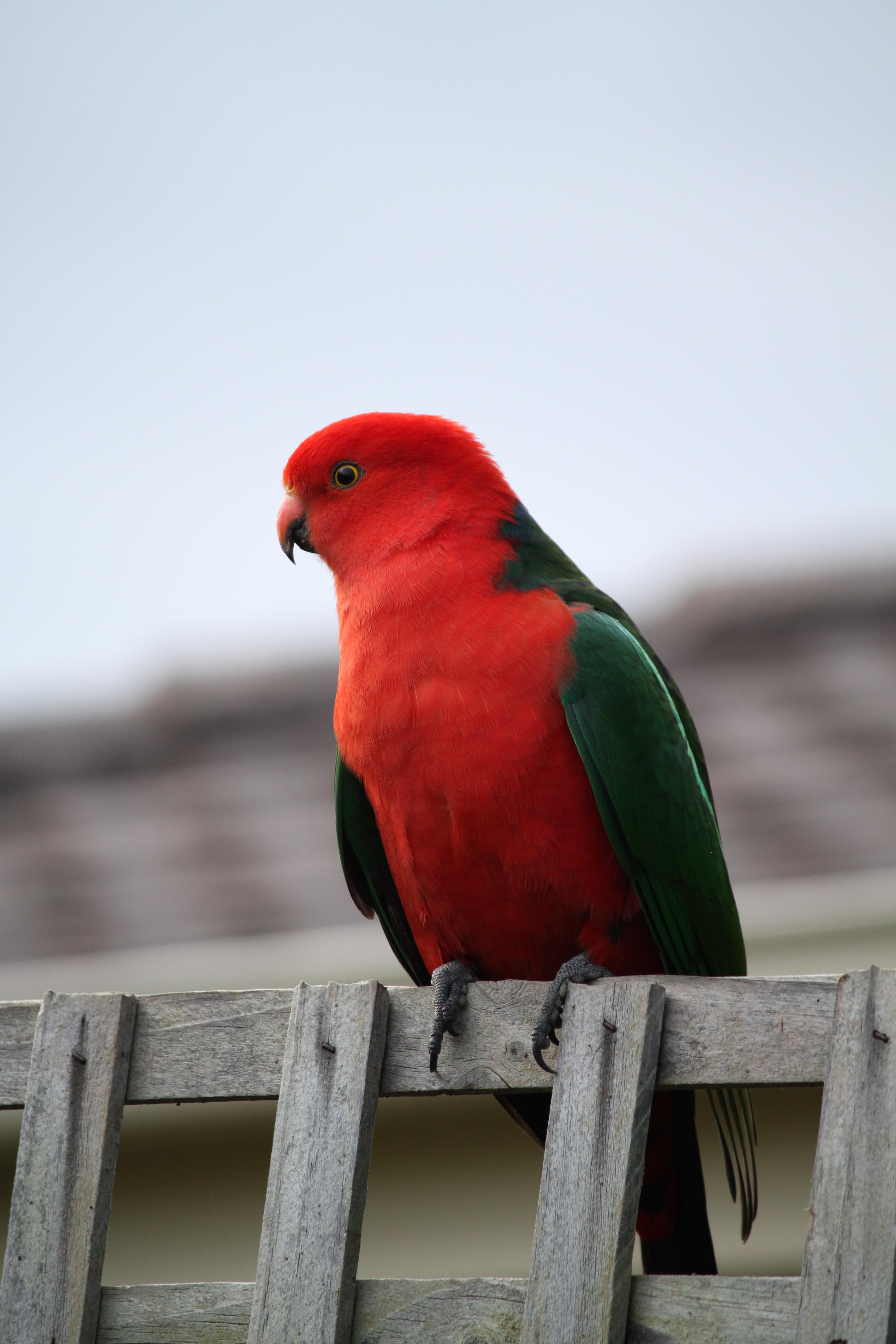 free images bird wing animal wildlife red beak colourful