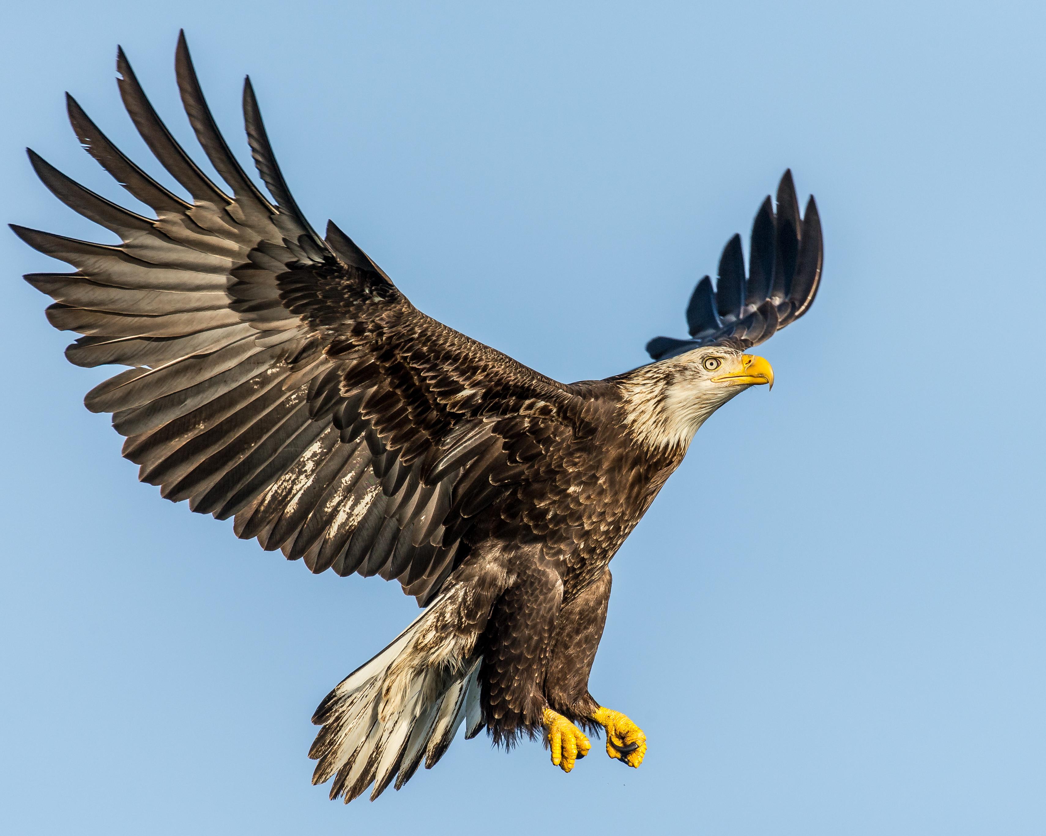 Орел и ястреб картинки