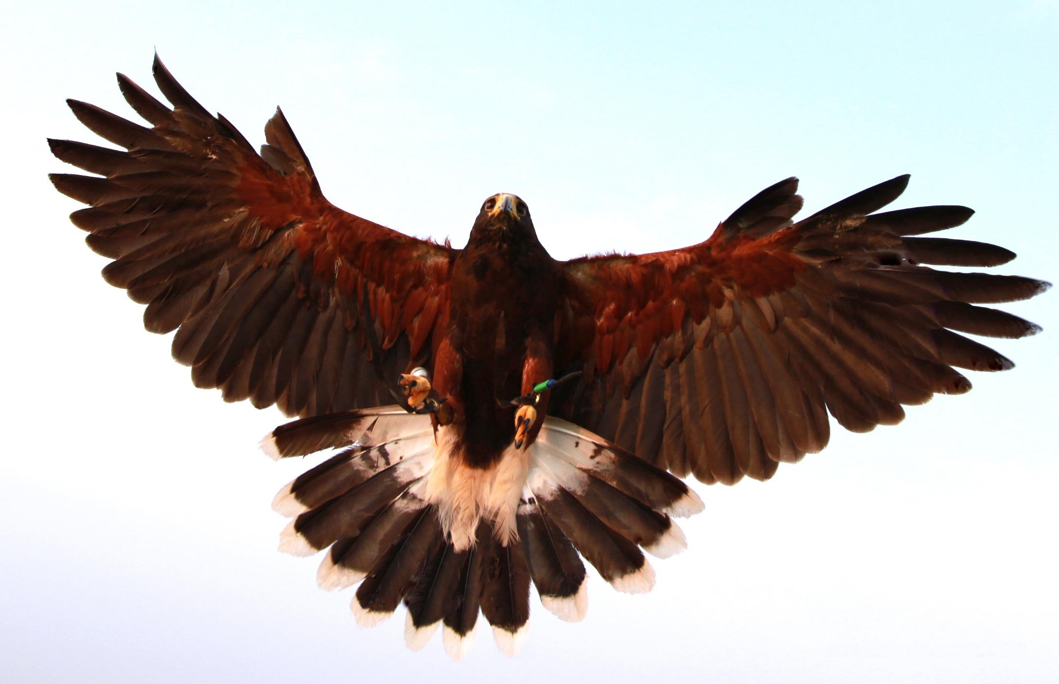 Free Images : wing, beak, eagle, hawk, fauna, bird of prey ...