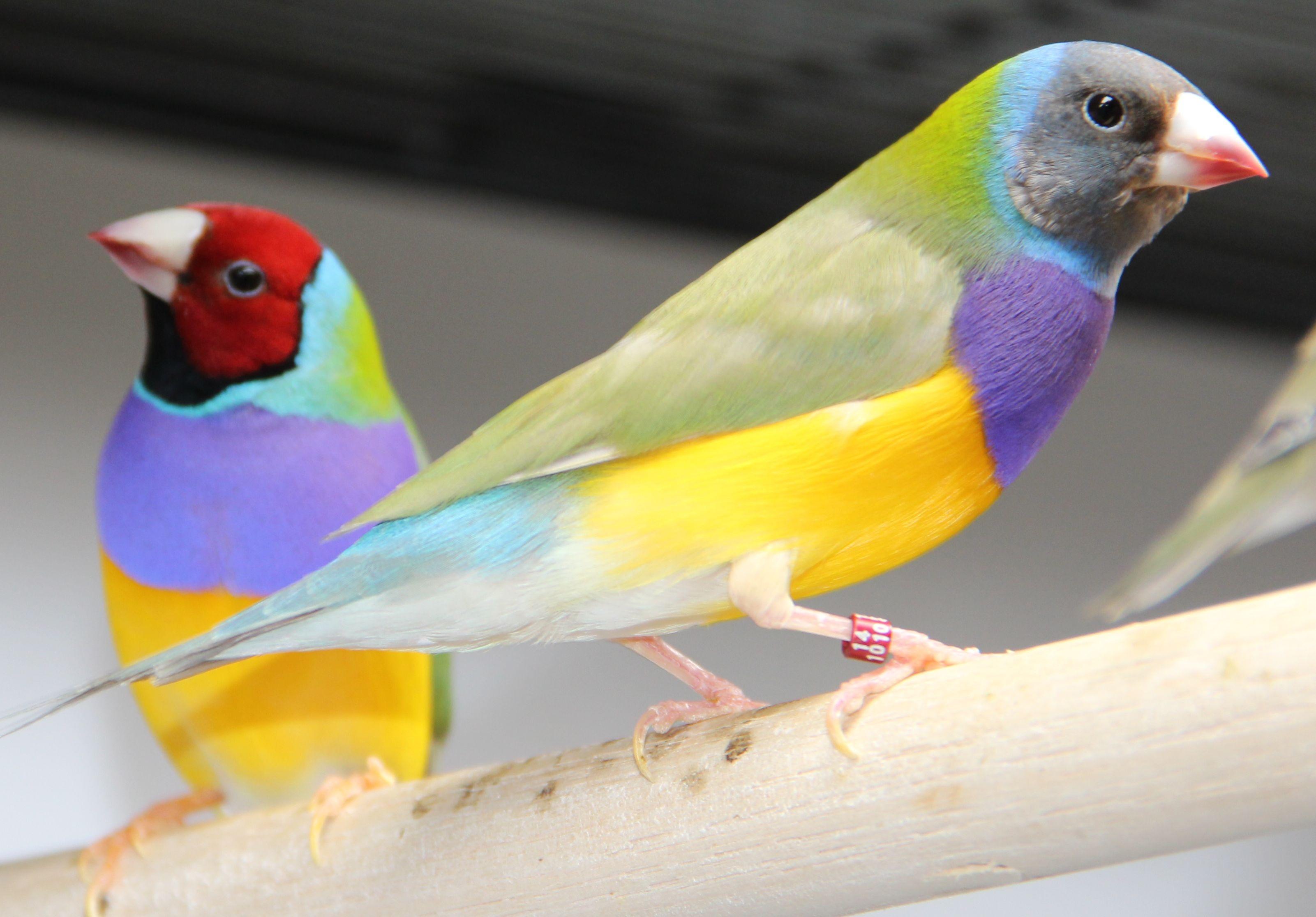 Декоративные домашние птицы фото с названиями
