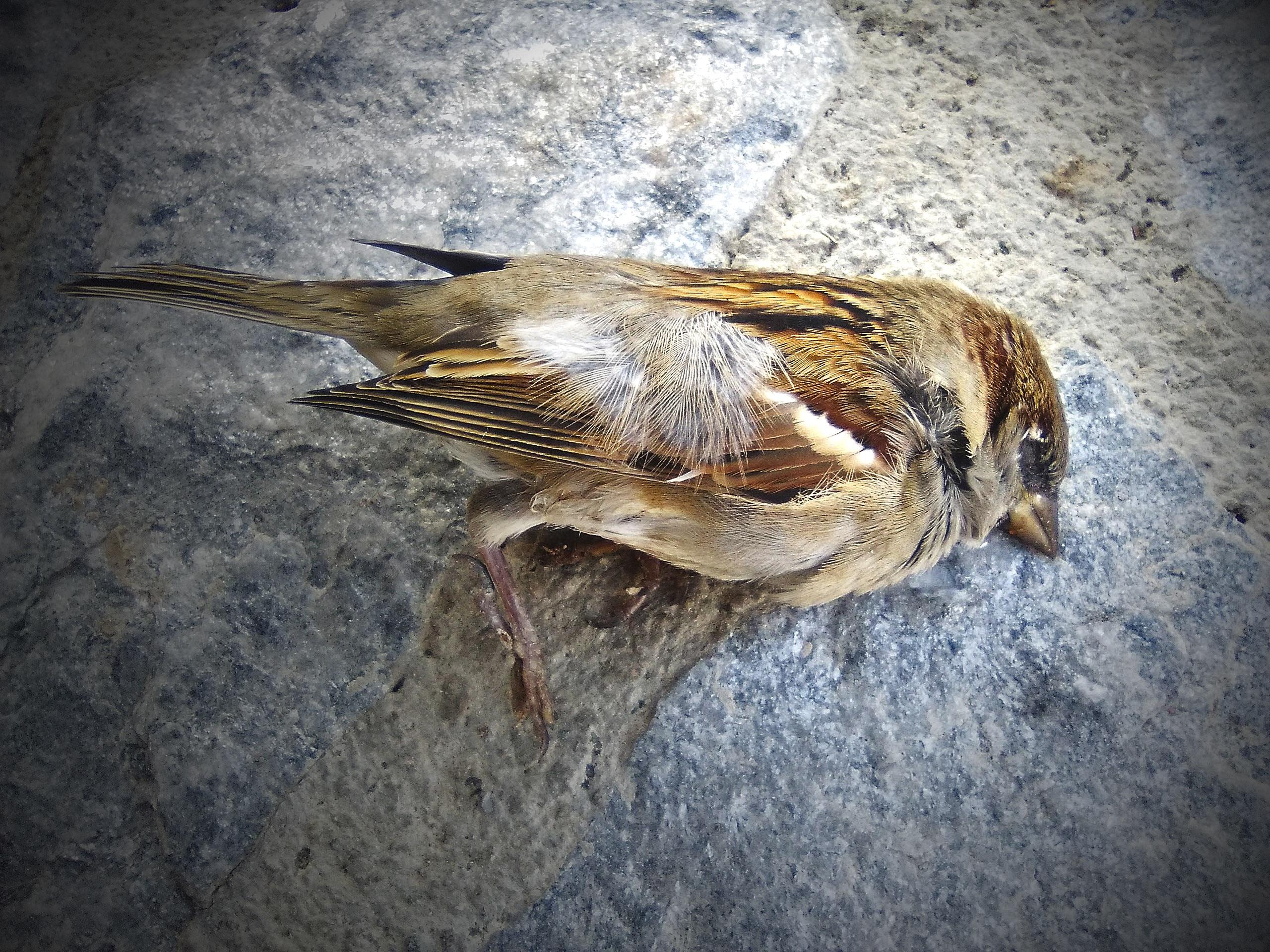 Gambar Sayap Paruh Fauna Bertulang Belakang Burung Gereja Finch Metafora Mendiang House Sparrow Kelebihan Burung Mati Bertengger Burung 2560x1920 844108 Galeri Foto Pxhere