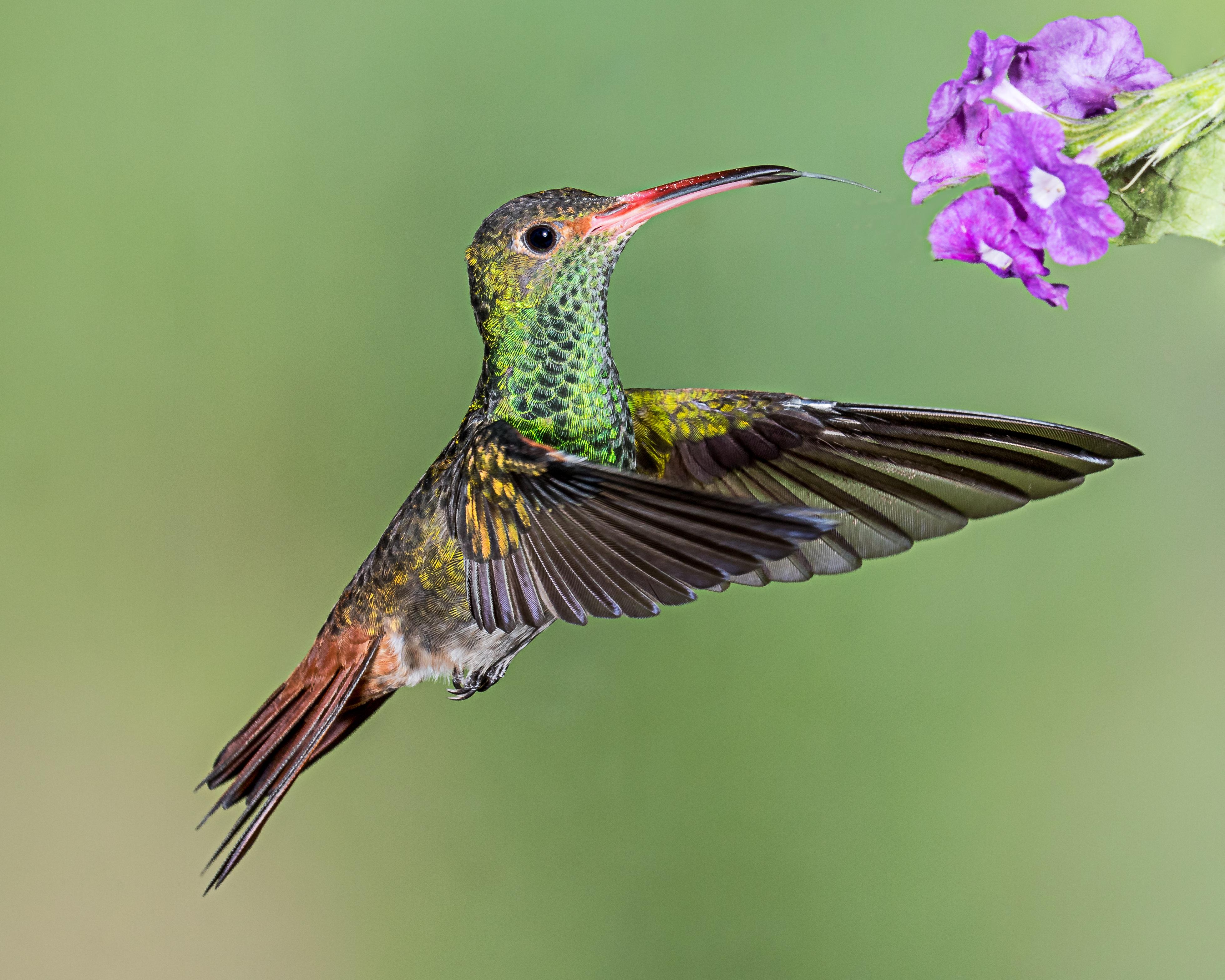 выдержать колибри описание птицы сборка