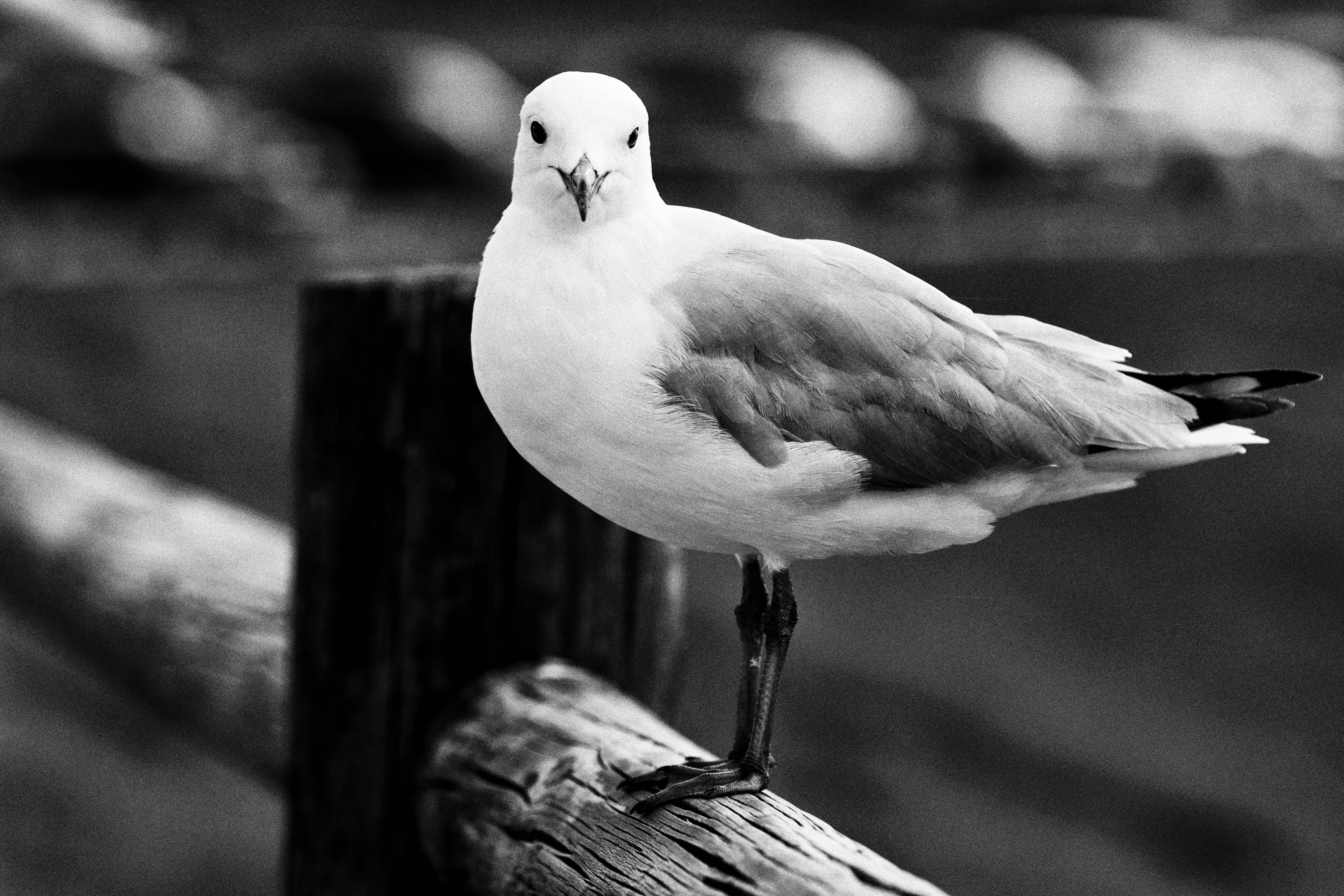 Черно-белые картинки чайка