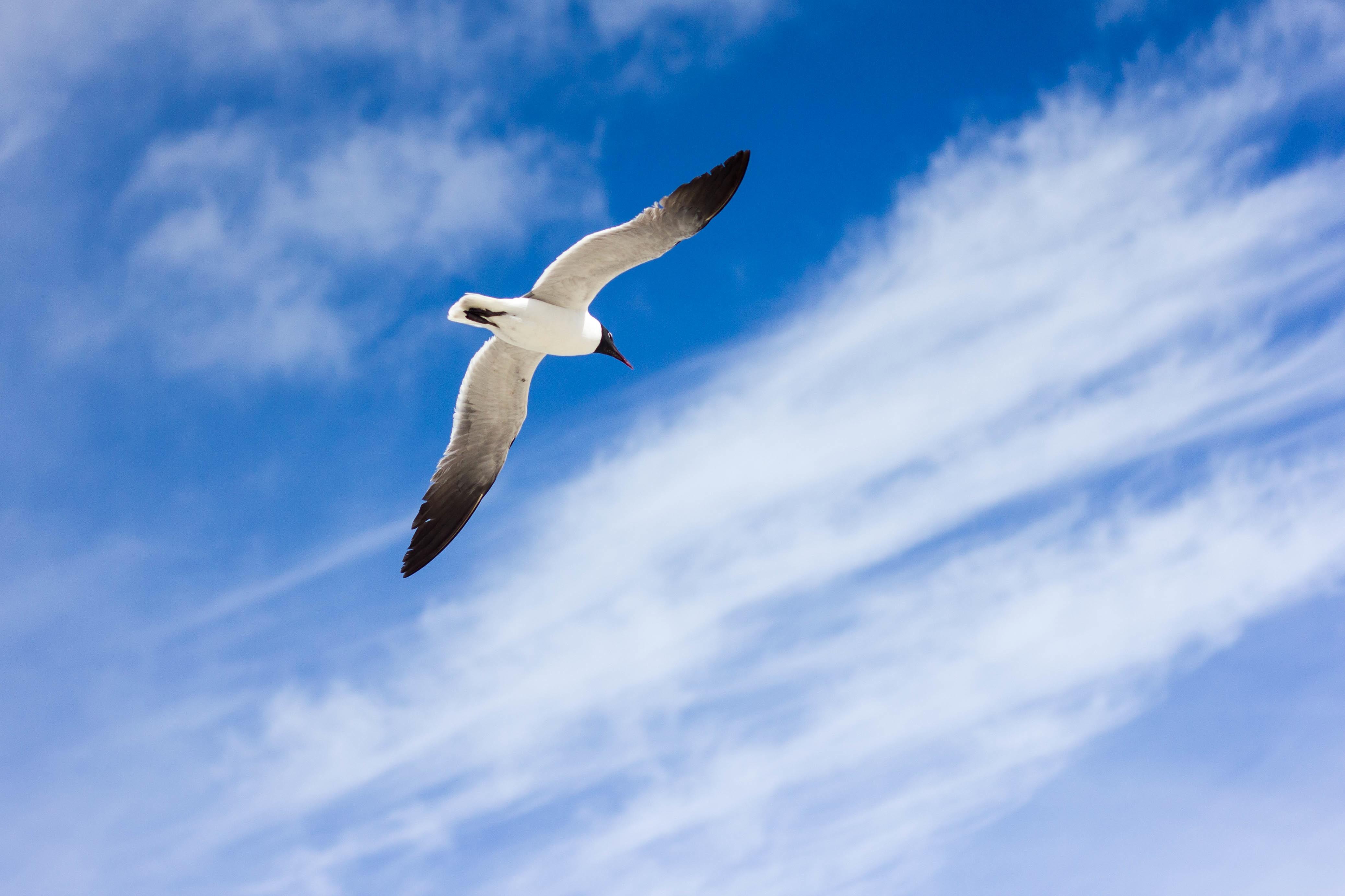 Images Gratuites : oiseau, aile, nuage, ciel, Oiseau de ...